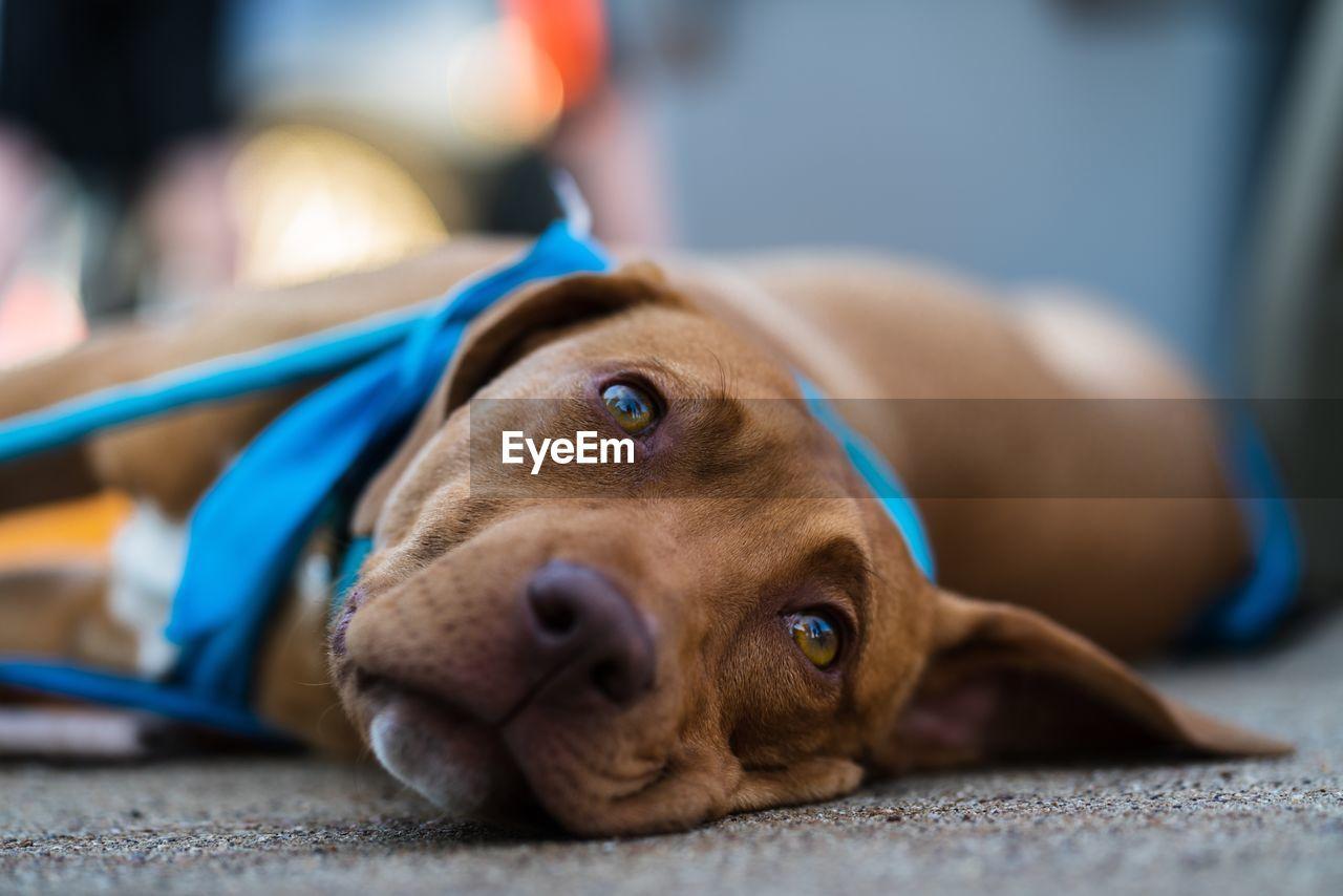 Close-Up Portrait Of Dog Resting On Floor