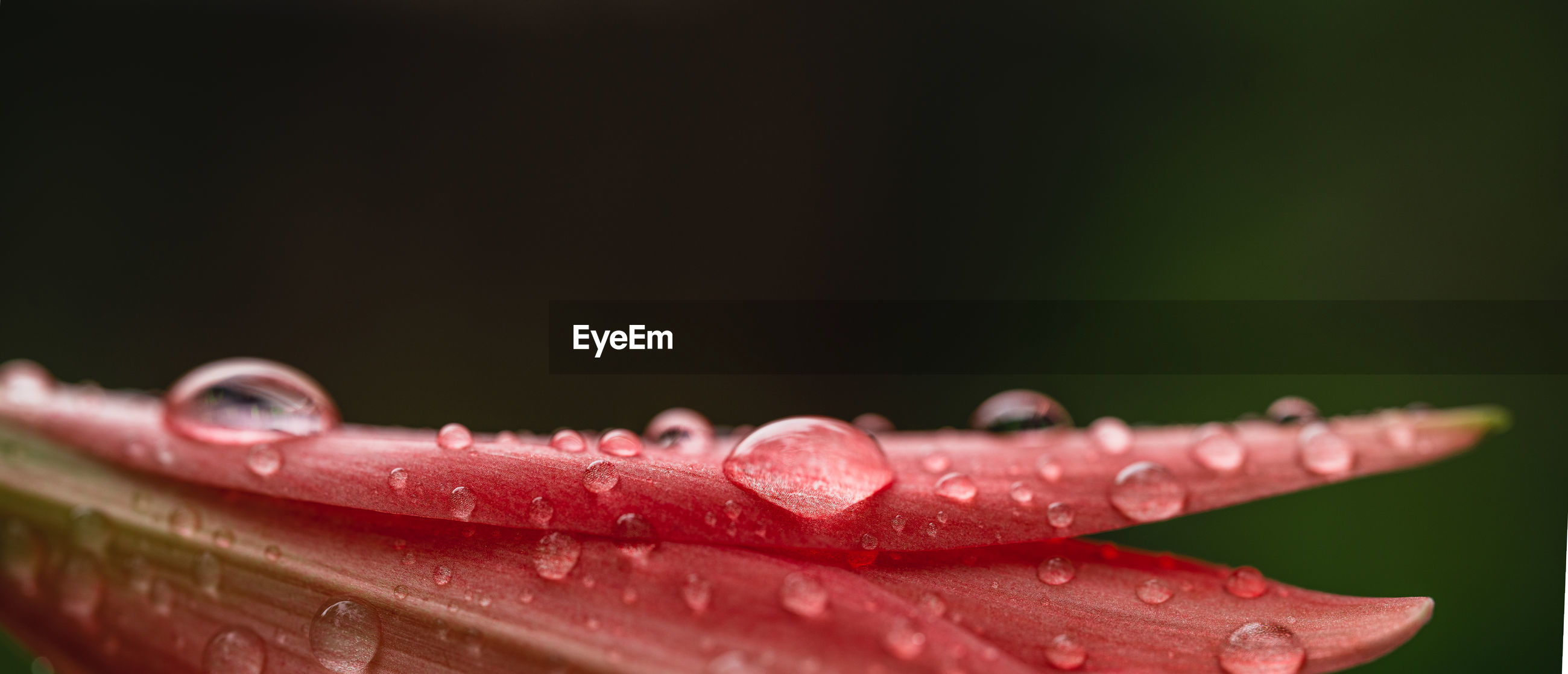 Close-up of water drops on red flower