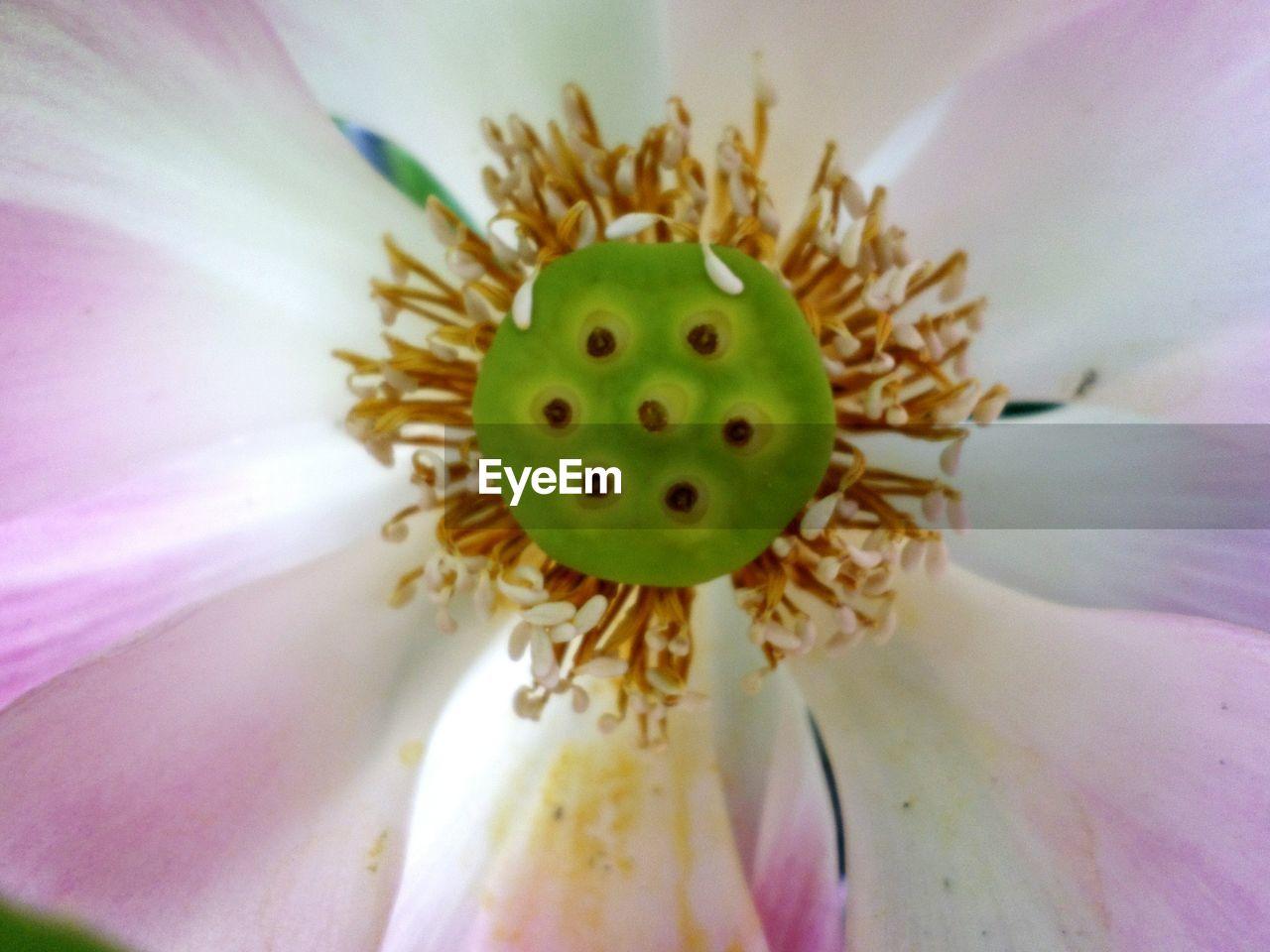 MACRO SHOT OF FRESH PINK FLOWER WITH PURPLE POLLEN