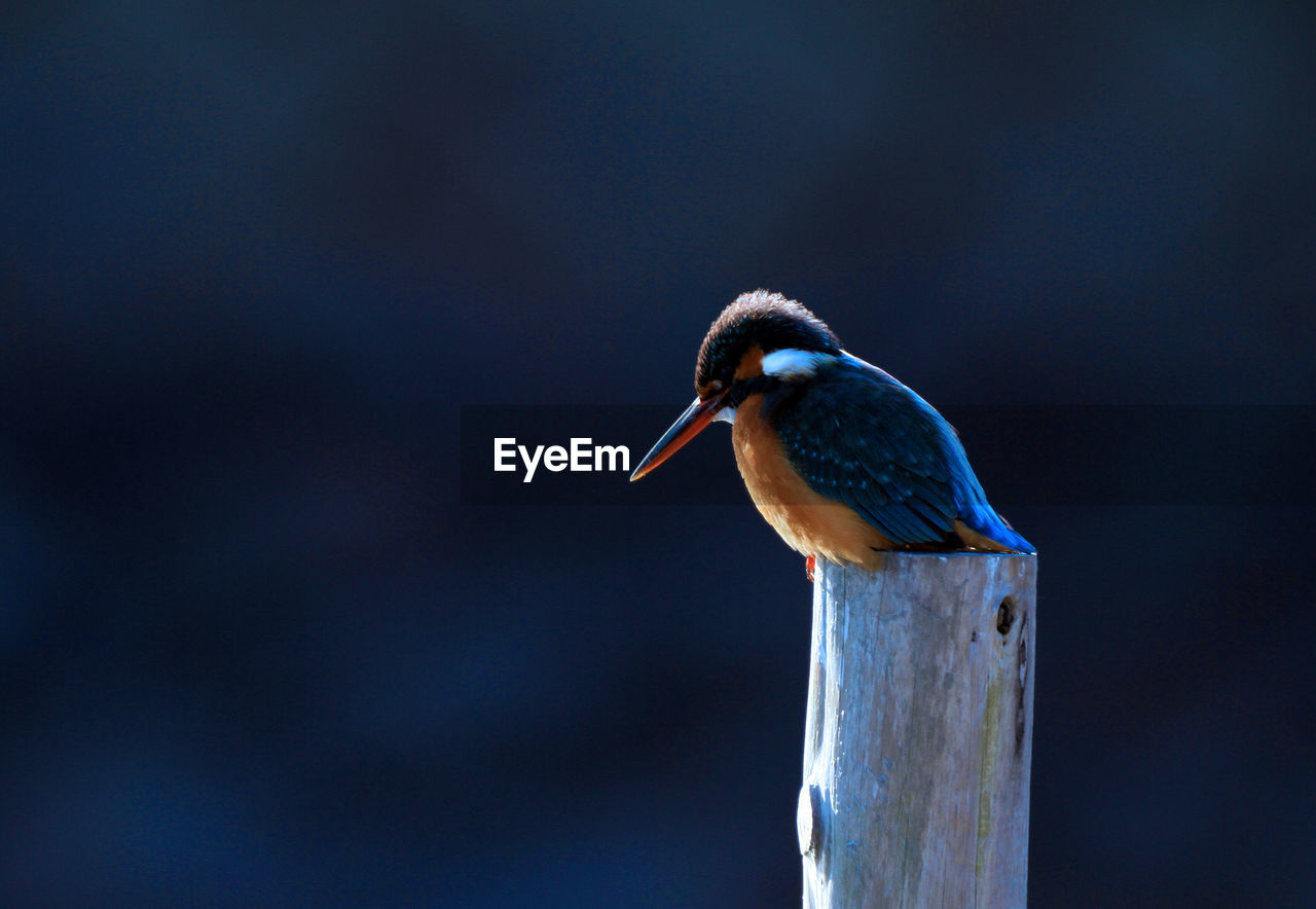 animal wildlife, animal themes, animal, vertebrate, animals in the wild, one animal, bird, focus on foreground, perching, no people, close-up, wood - material, nature, day, beak, post, kingfisher, wooden post, outdoors, blue