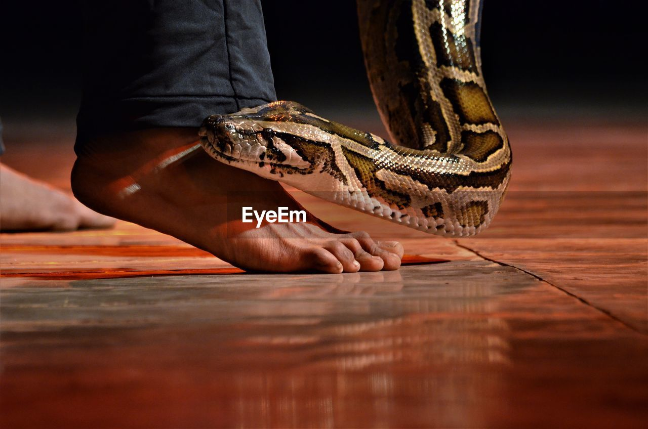 real people, human body part, wood - material, one person, selective focus, indoors, body part, low section, vertebrate, flooring, unrecognizable person, table, reptile, one animal, human leg, men, animals in the wild, animal wildlife, wood, human foot, human limb