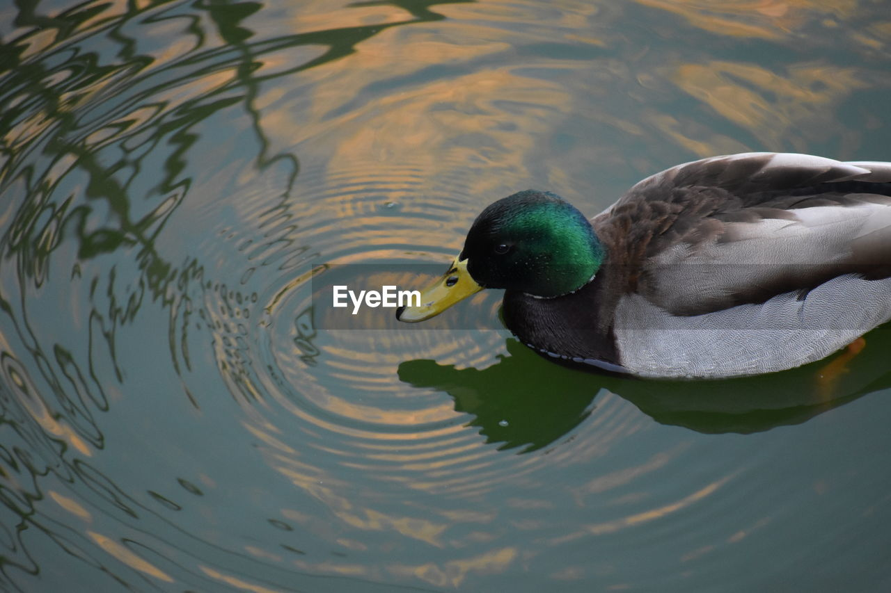 water, animal themes, animal wildlife, animals in the wild, one animal, lake, animal, vertebrate, bird, swimming, waterfront, nature, no people, day, duck, rippled, mallard duck, water bird, high angle view, beak, outdoors, floating on water, animal head