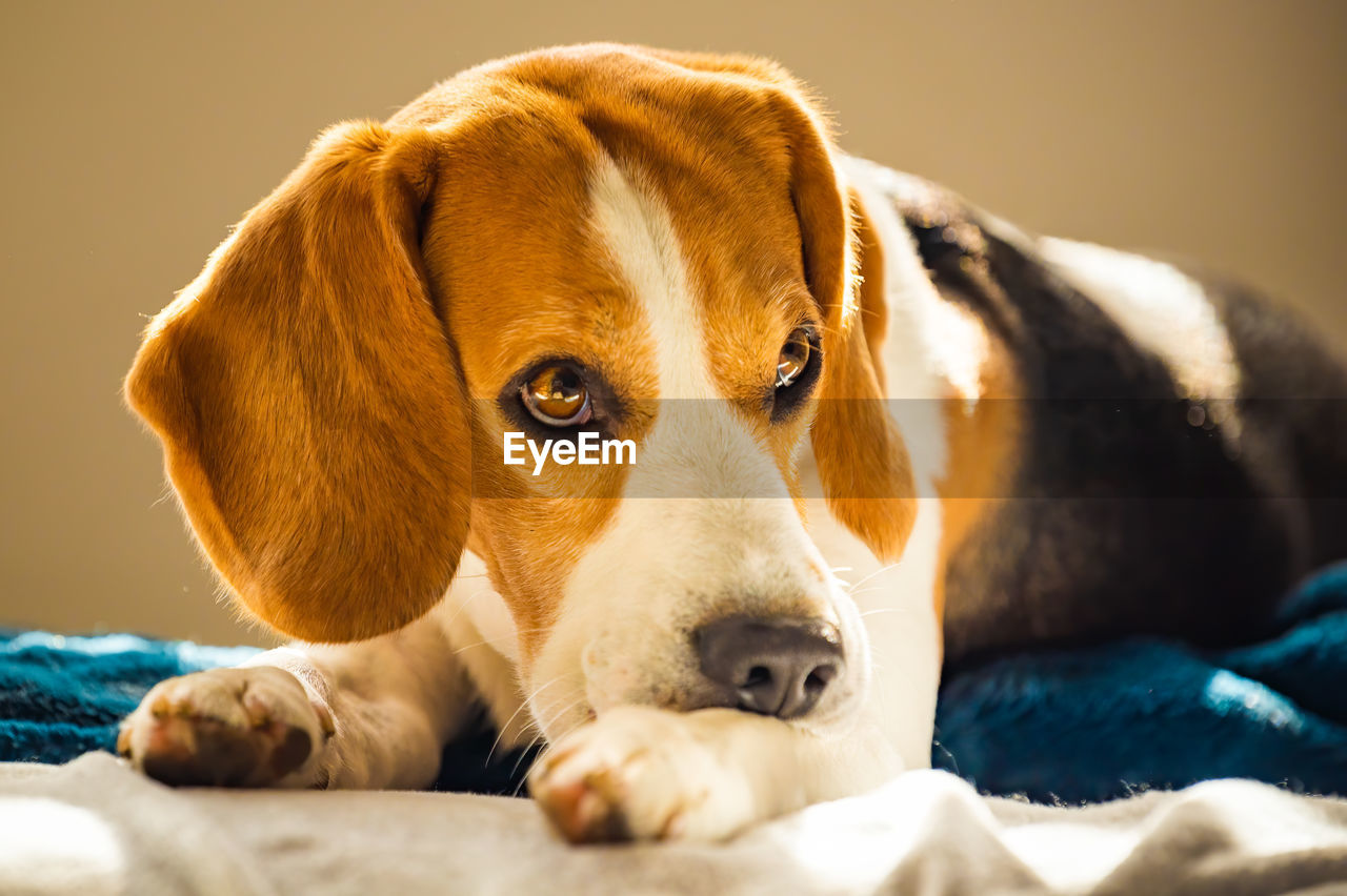 Beagle dog biting his itching skin on legs. skin problem allergy reaction or stress reaction