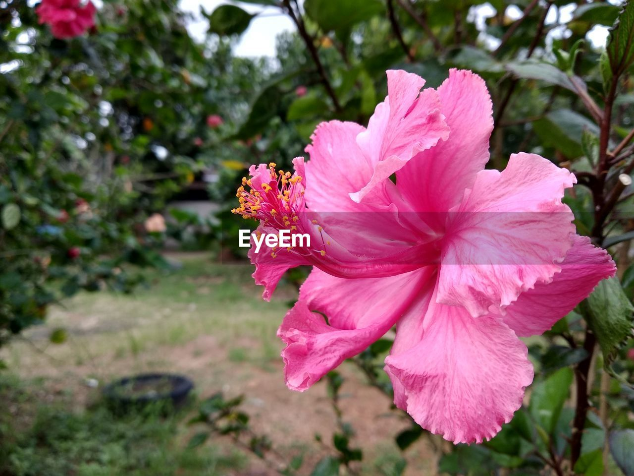 flower, flowering plant, petal, plant, freshness, vulnerability, fragility, beauty in nature, inflorescence, flower head, pink color, growth, close-up, nature, focus on foreground, day, hibiscus, no people, outdoors, pollen