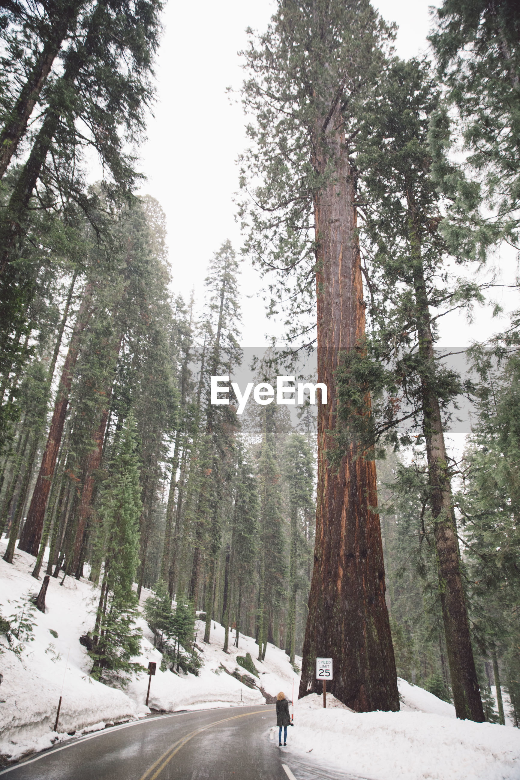 View of pine trees on hill at sequoia national park