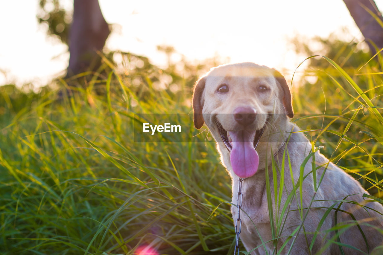 one animal, canine, dog, domestic, animal themes, domestic animals, pets, animal, mammal, grass, plant, vertebrate, portrait, looking at camera, facial expression, sticking out tongue, land, nature, day, animal body part, animal tongue, outdoors, no people, mouth open, animal head, panting, weimaraner, animal mouth