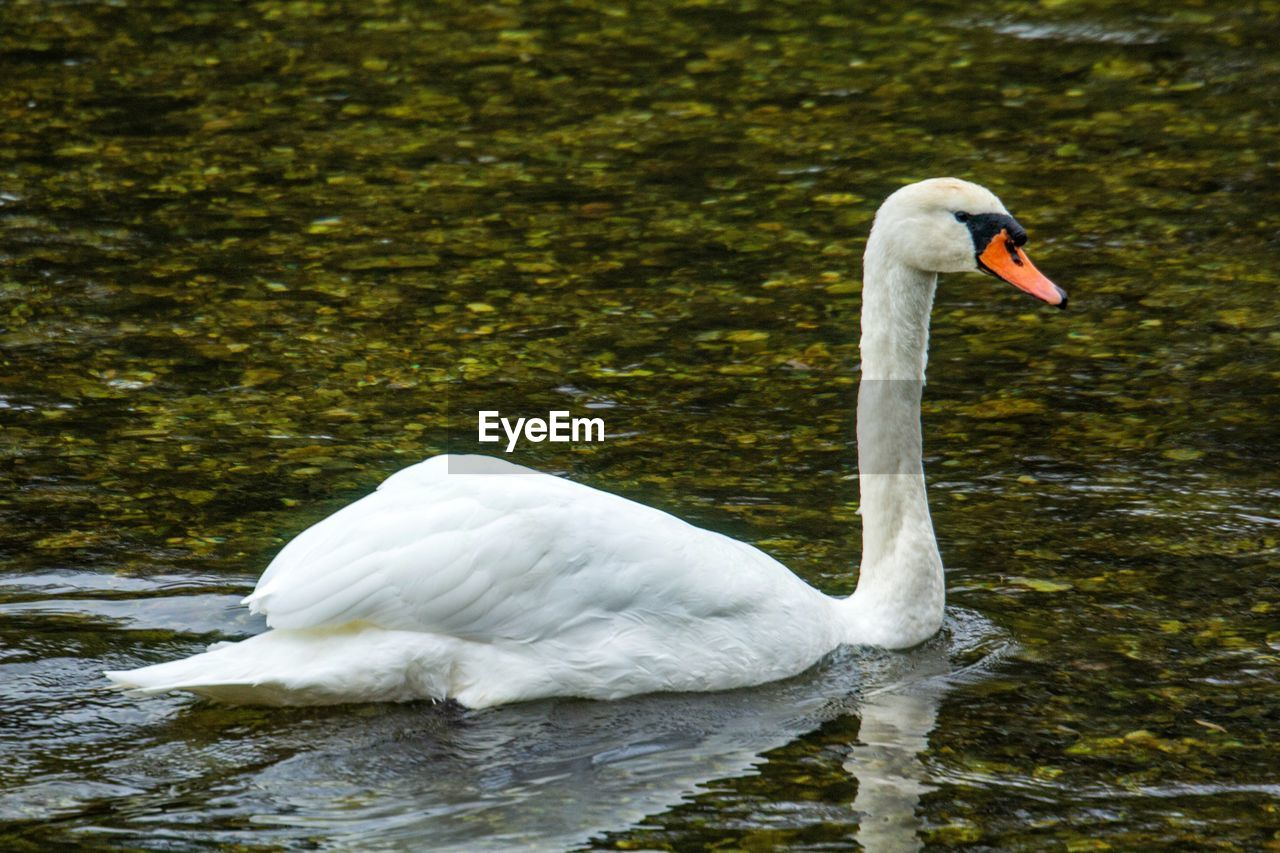 animal themes, animals in the wild, bird, animal, animal wildlife, swan, water, vertebrate, lake, one animal, white color, swimming, zoology, water bird, day, nature, waterfront, no people, mute swan, animal neck, floating on water, cygnet