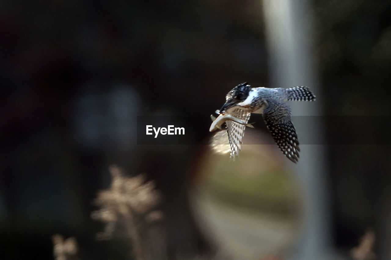 one animal, animal themes, bird, flying, animals in the wild, focus on foreground, day, animal wildlife, mid-air, no people, spread wings, outdoors, nature, close-up, bird of prey