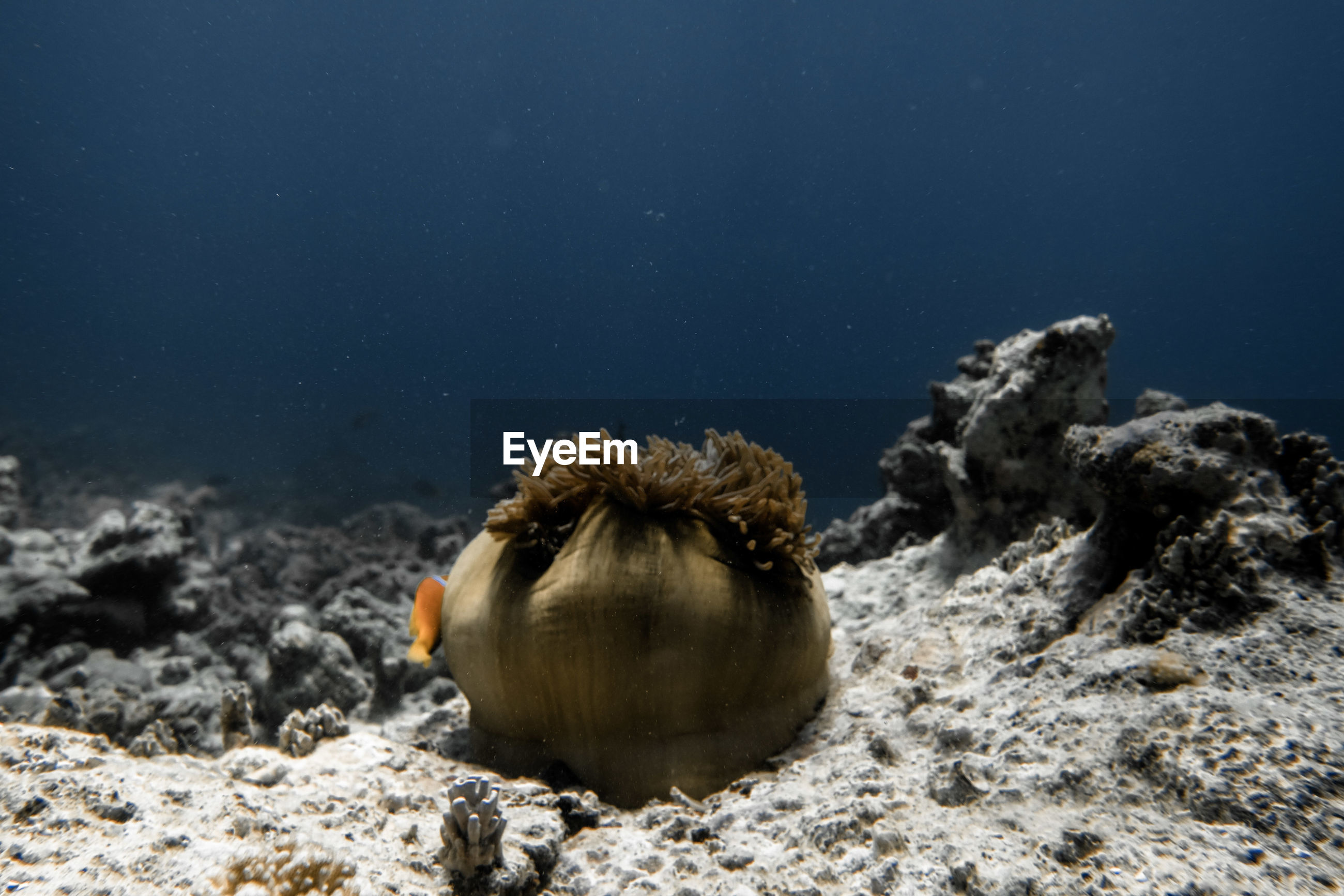 Anemones at a reef in the maledives