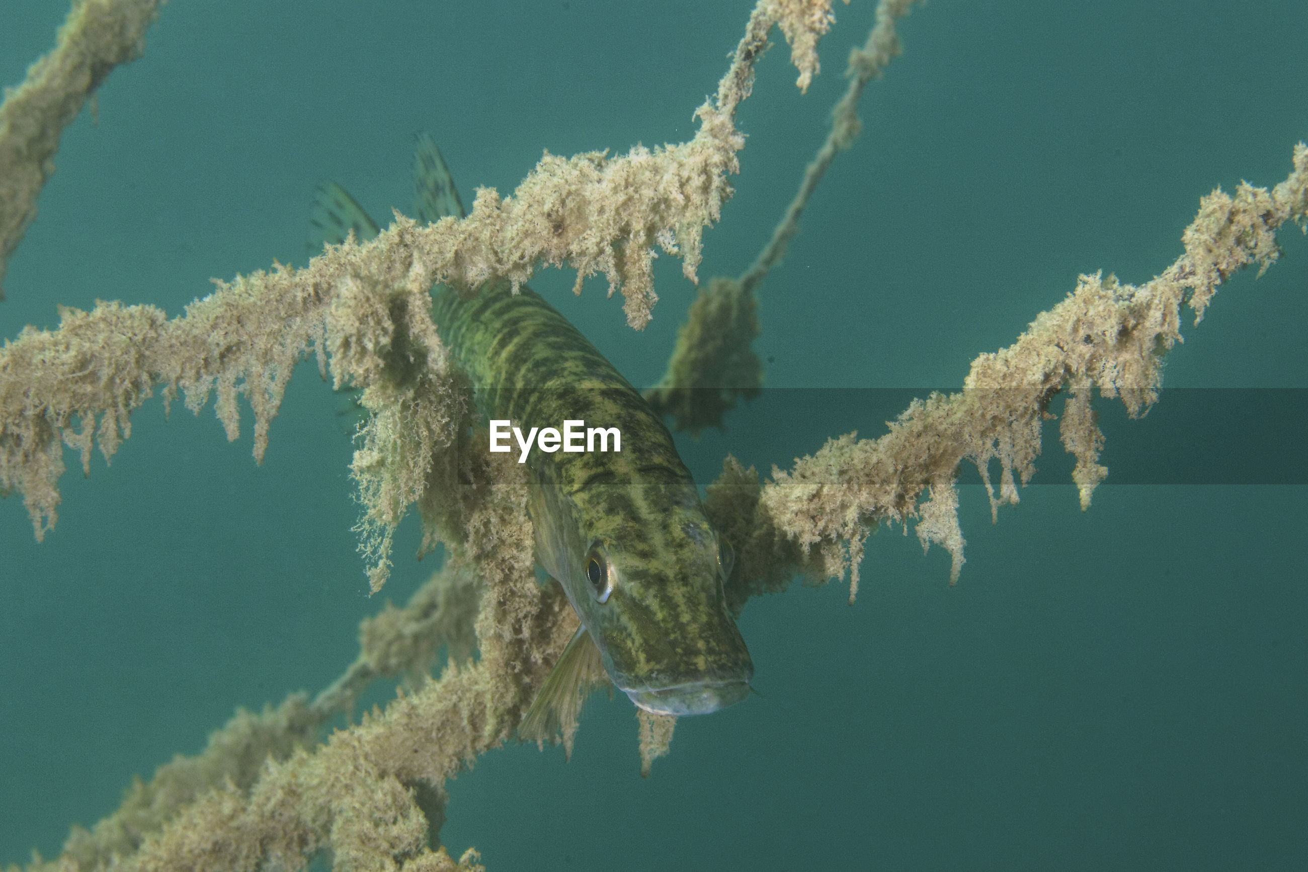Underwater photo of the northern pike, esox lucius in soderica lake, croatia
