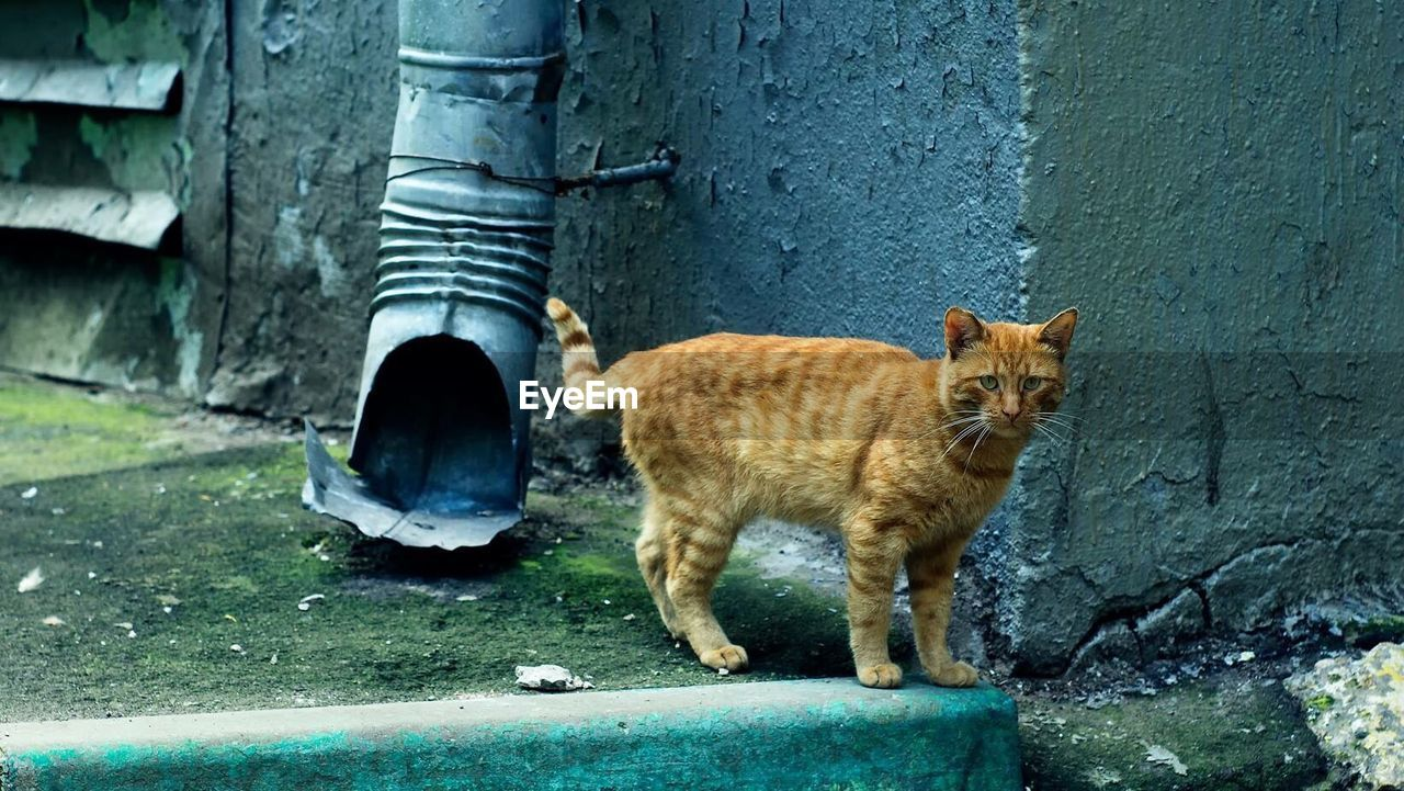 mammal, domestic animals, cat, animal themes, domestic, pets, feline, animal, domestic cat, one animal, vertebrate, standing, day, architecture, wall - building feature, no people, looking at camera, portrait, wall, built structure, ginger cat, whisker