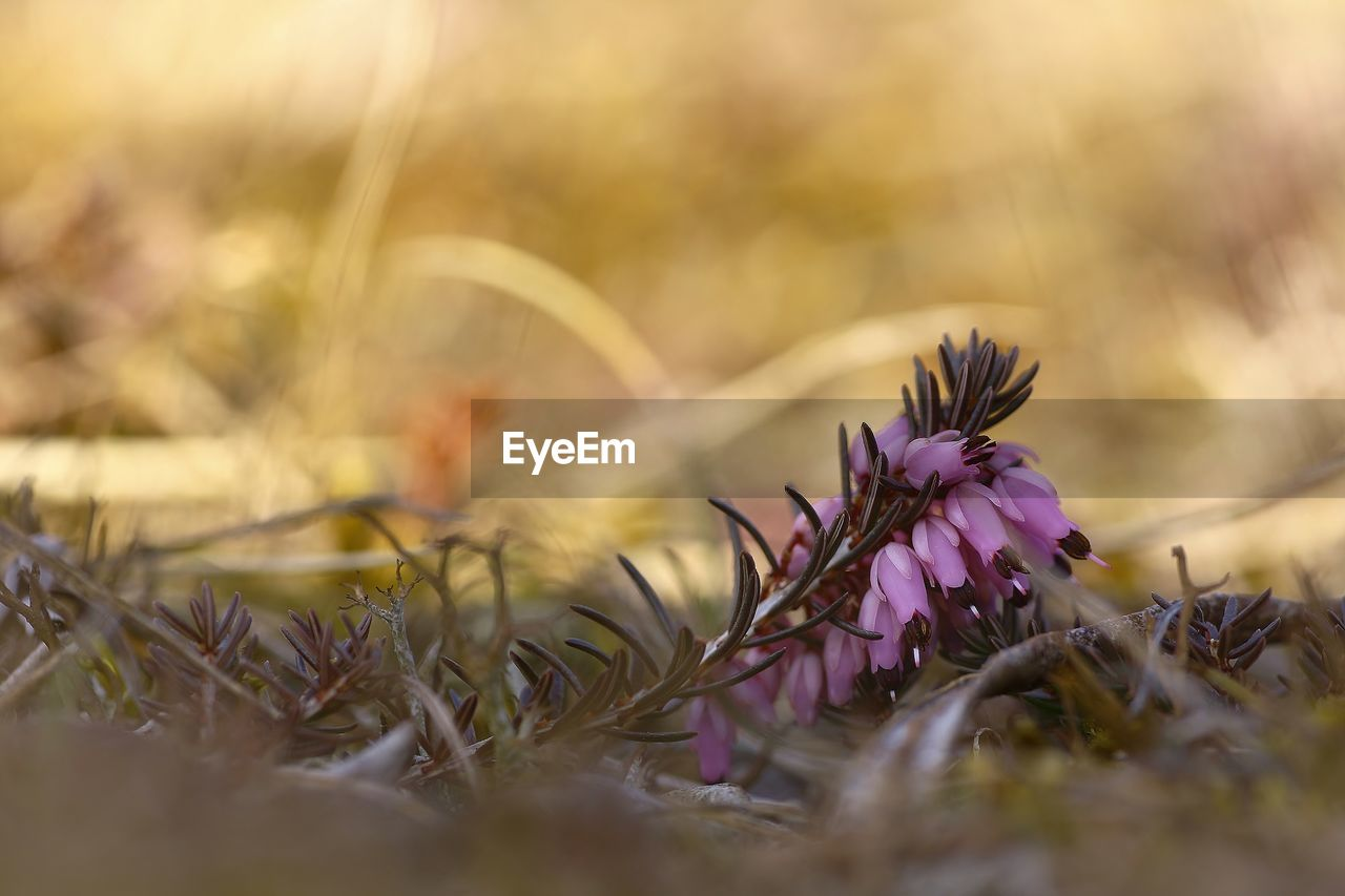 selective focus, flower, nature, close-up, no people, fragility, purple, outdoors, day, plant, beauty in nature, freshness, flower head