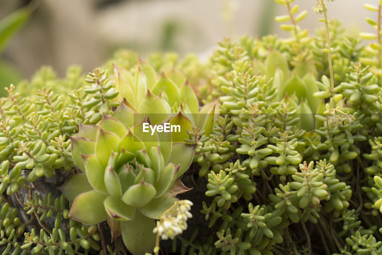 CLOSE-UP OF SUCCULENT PLANTS OUTDOORS