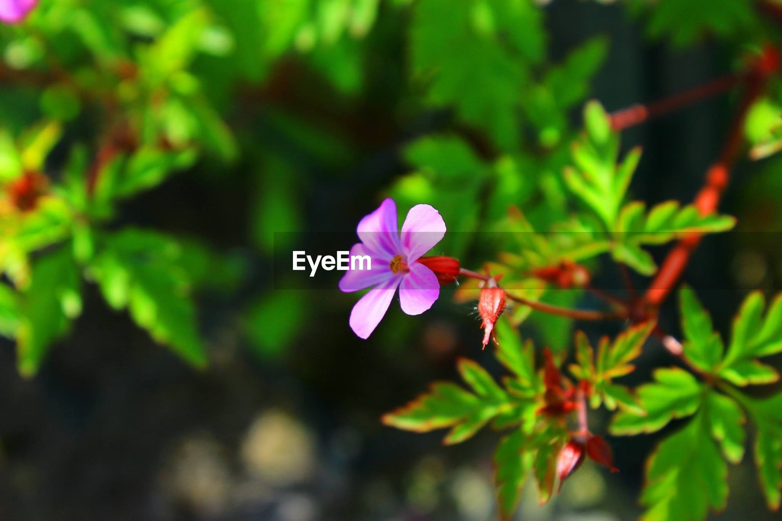 flower, petal, freshness, fragility, flower head, growth, beauty in nature, pink color, blooming, focus on foreground, nature, close-up, single flower, plant, purple, pollen, leaf, in bloom, blossom, stamen
