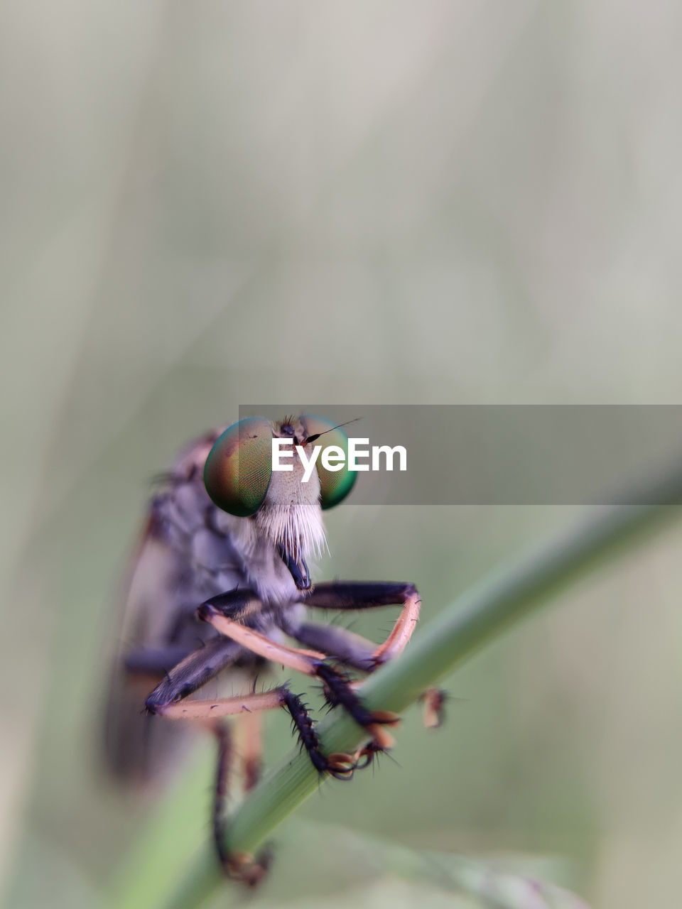 Close-up of  robberfly