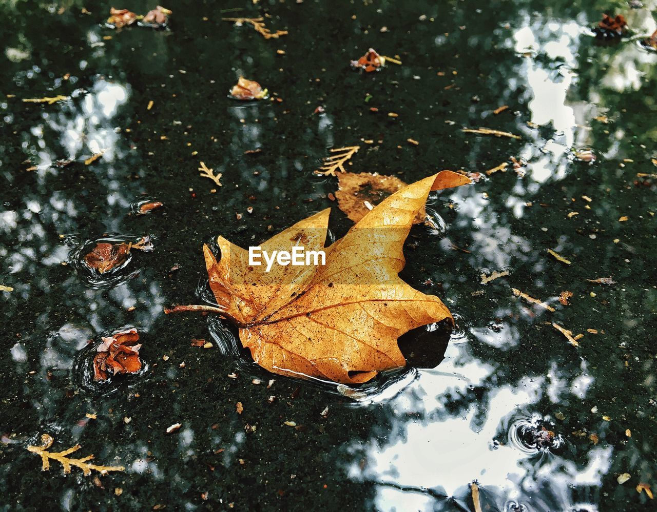 leaf, autumn, change, dry, nature, maple, day, selective focus, outdoors, weather, close-up, water, maple leaf, focus on foreground, beauty in nature, cold temperature, fragility, no people