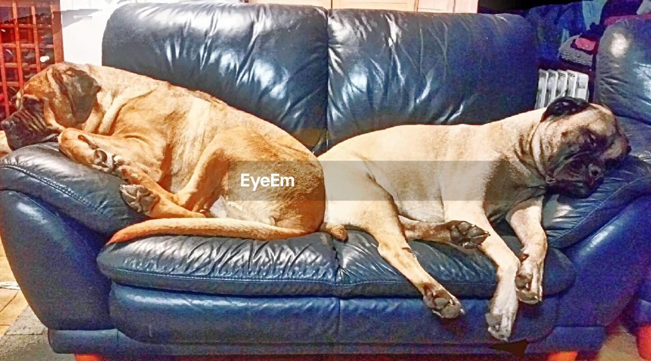pets, sofa, domestic animals, mammal, dog, animal themes, relaxation, sleeping, one animal, lying down, indoors, no people, day