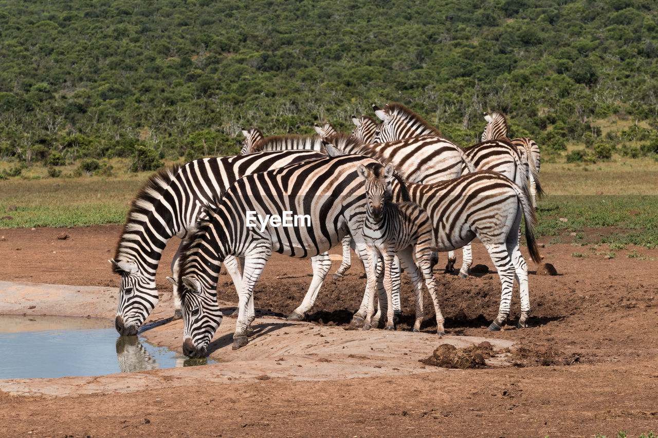 ZEBRA AND ZEBRAS STANDING IN A PARK