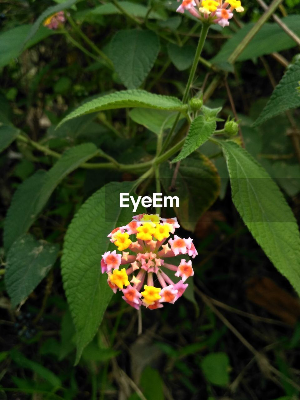 growth, flower, leaf, freshness, plant, beauty in nature, nature, petal, fragility, green color, flower head, day, blooming, focus on foreground, outdoors, park - man made space, no people, close-up, lantana camara, zinnia