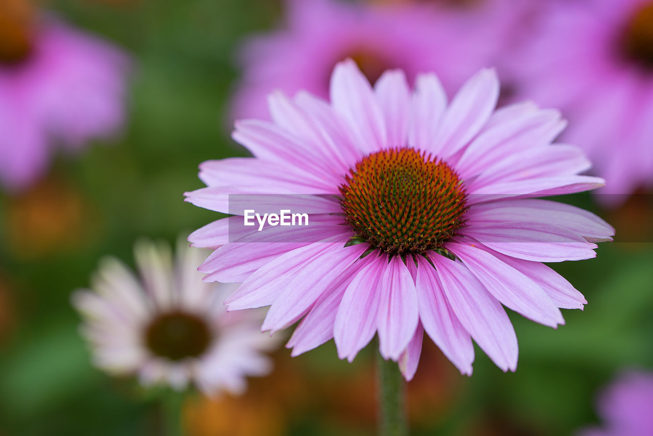 Close-Up Of Eastern Purple Coneflowers At Field