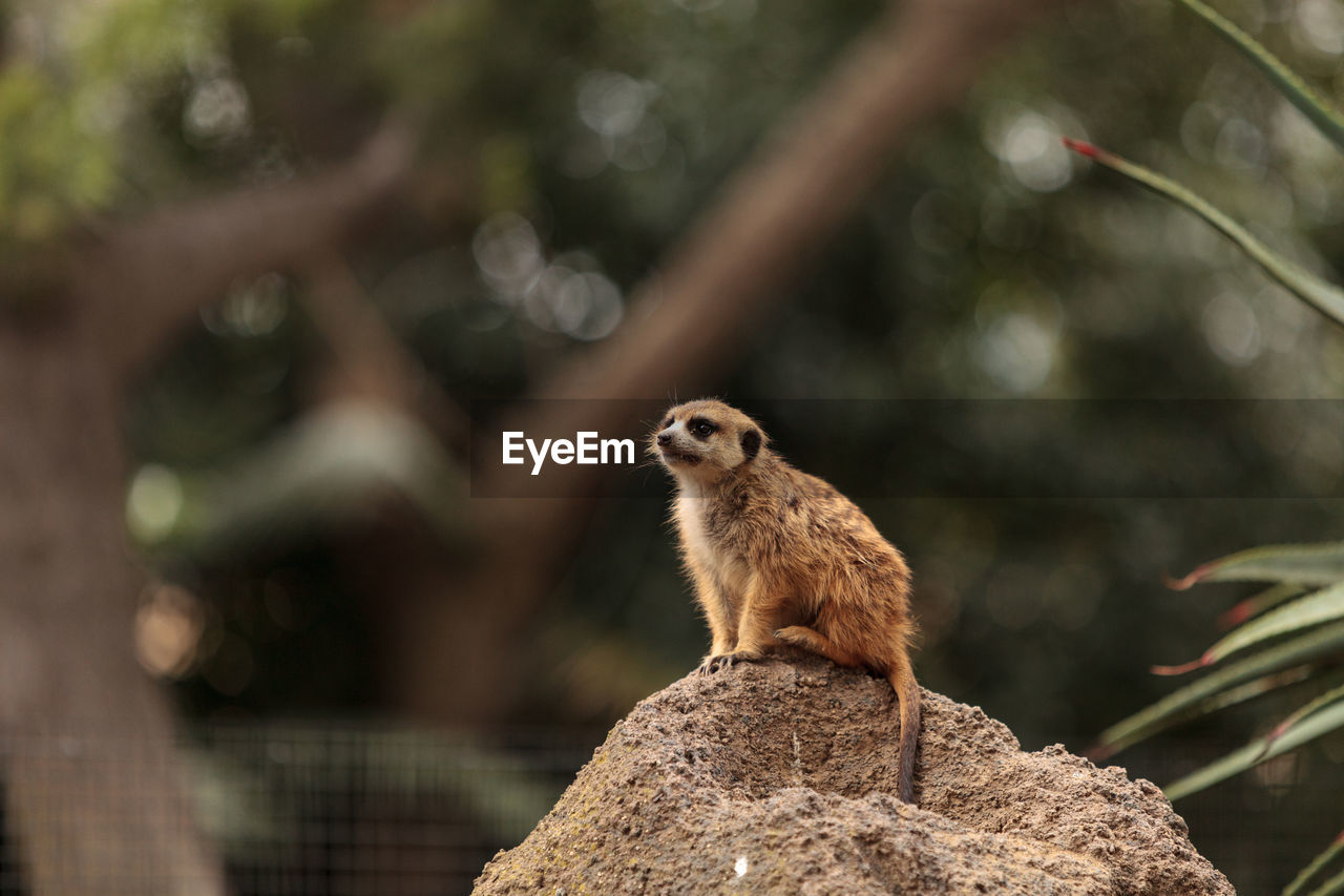 animal wildlife, animal themes, animal, animals in the wild, one animal, mammal, focus on foreground, vertebrate, no people, day, nature, rodent, tree, rock, rock - object, solid, outdoors, looking, sitting, meerkat