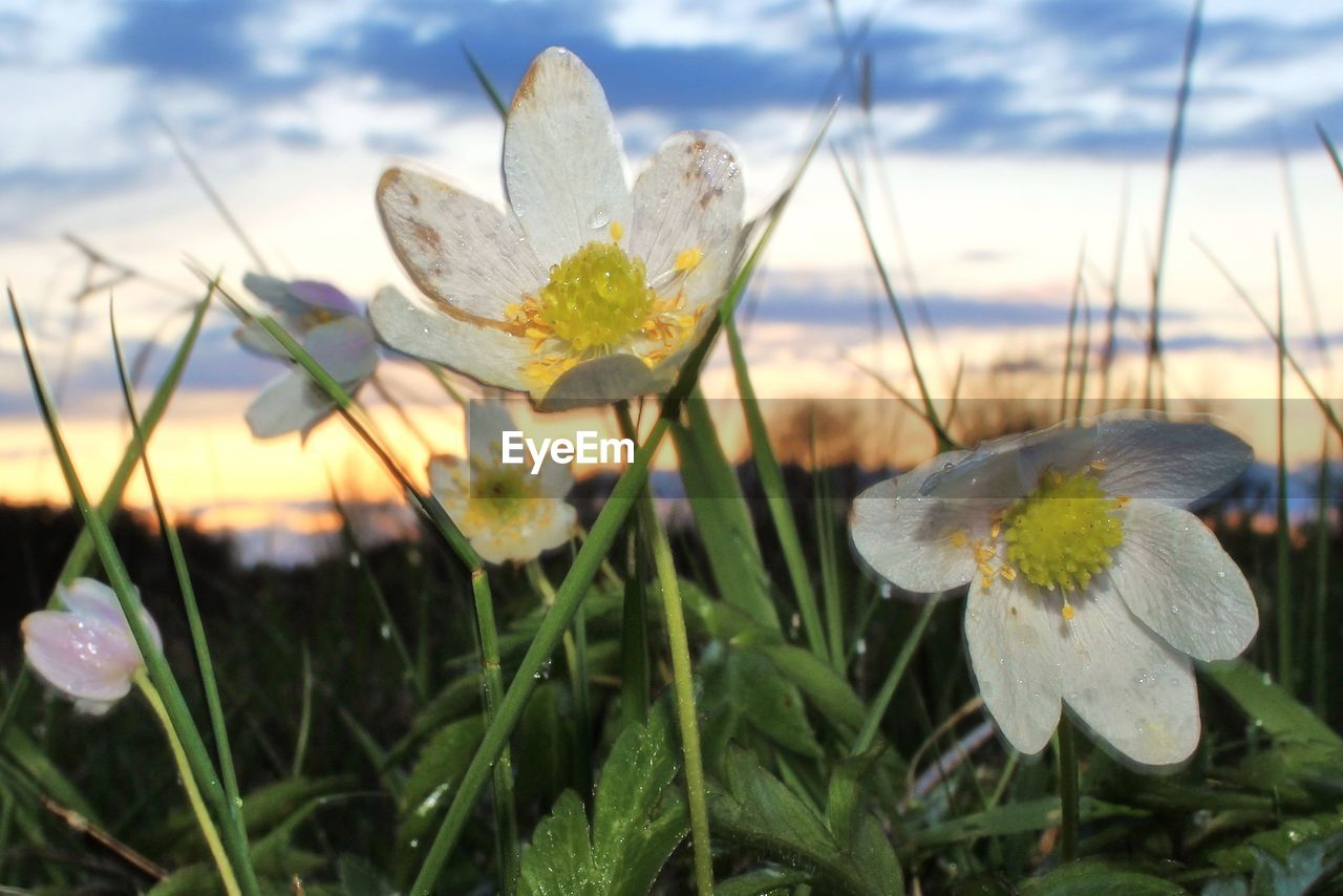 flower, growth, nature, fragility, beauty in nature, plant, petal, close-up, flower head, freshness, focus on foreground, outdoors, no people, blooming, sky, day, grass