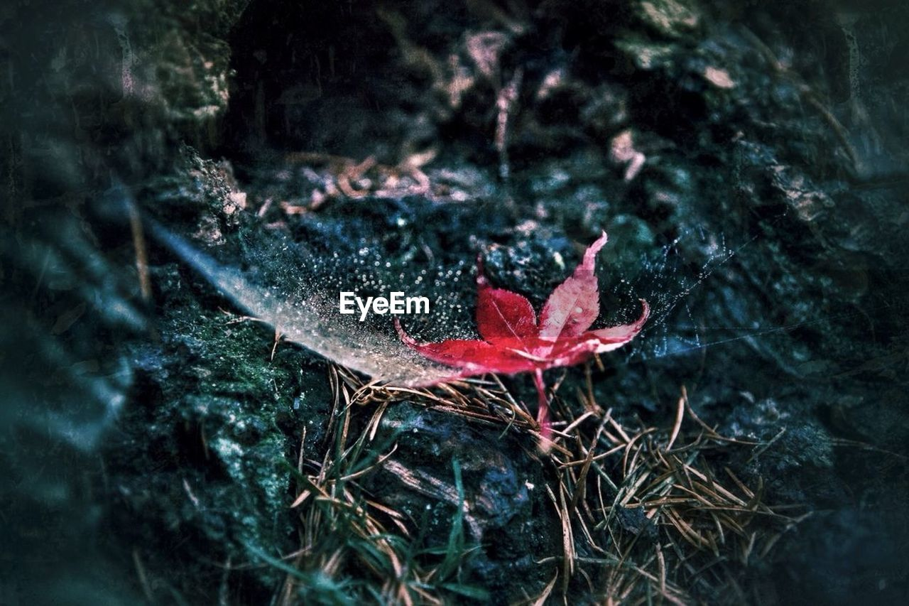 leaf, red, nature, day, growth, high angle view, fragility, selective focus, outdoors, no people, close-up, plant, autumn, beauty in nature, maple