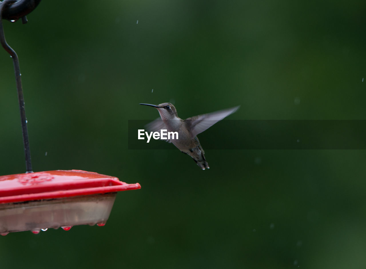 Close-Up Of Hummingbird Flapping Wings By Feeder During Rainfall
