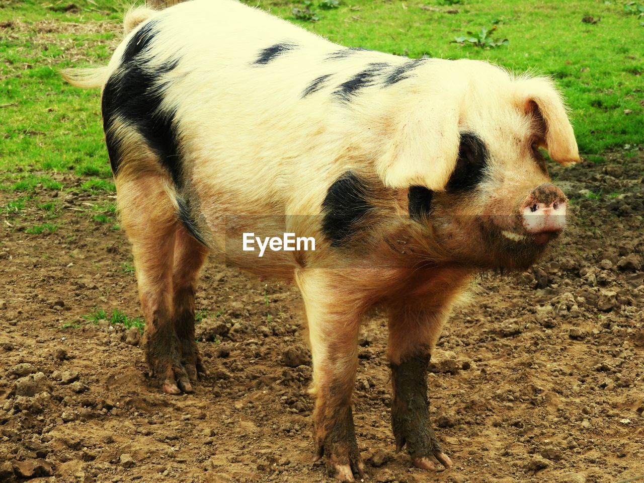 domestic animals, animal themes, mammal, field, livestock, one animal, no people, cow, day, young animal, nature, outdoors, standing, grass, piglet, close-up