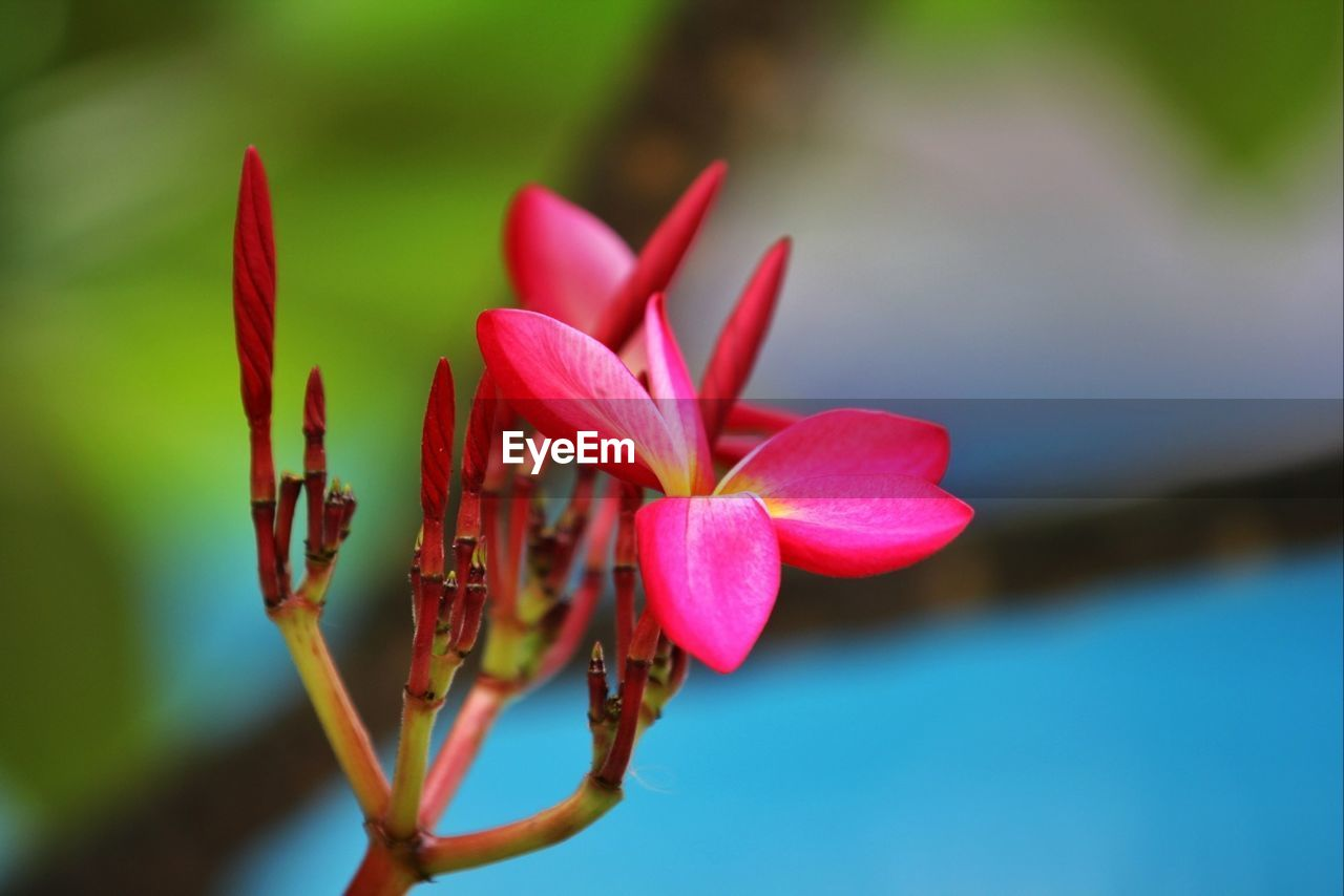 growth, beauty in nature, nature, flower, petal, fragility, freshness, plant, focus on foreground, close-up, flower head, day, no people, outdoors, pink color, water