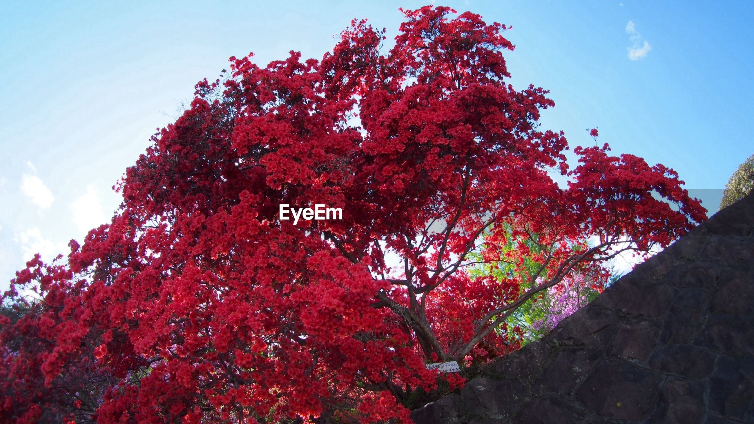 tree, sky, low angle view, growth, beauty in nature, branch, nature, flower, red, autumn, tranquility, change, season, freshness, pink color, sunlight, tranquil scene, scenics, day, no people