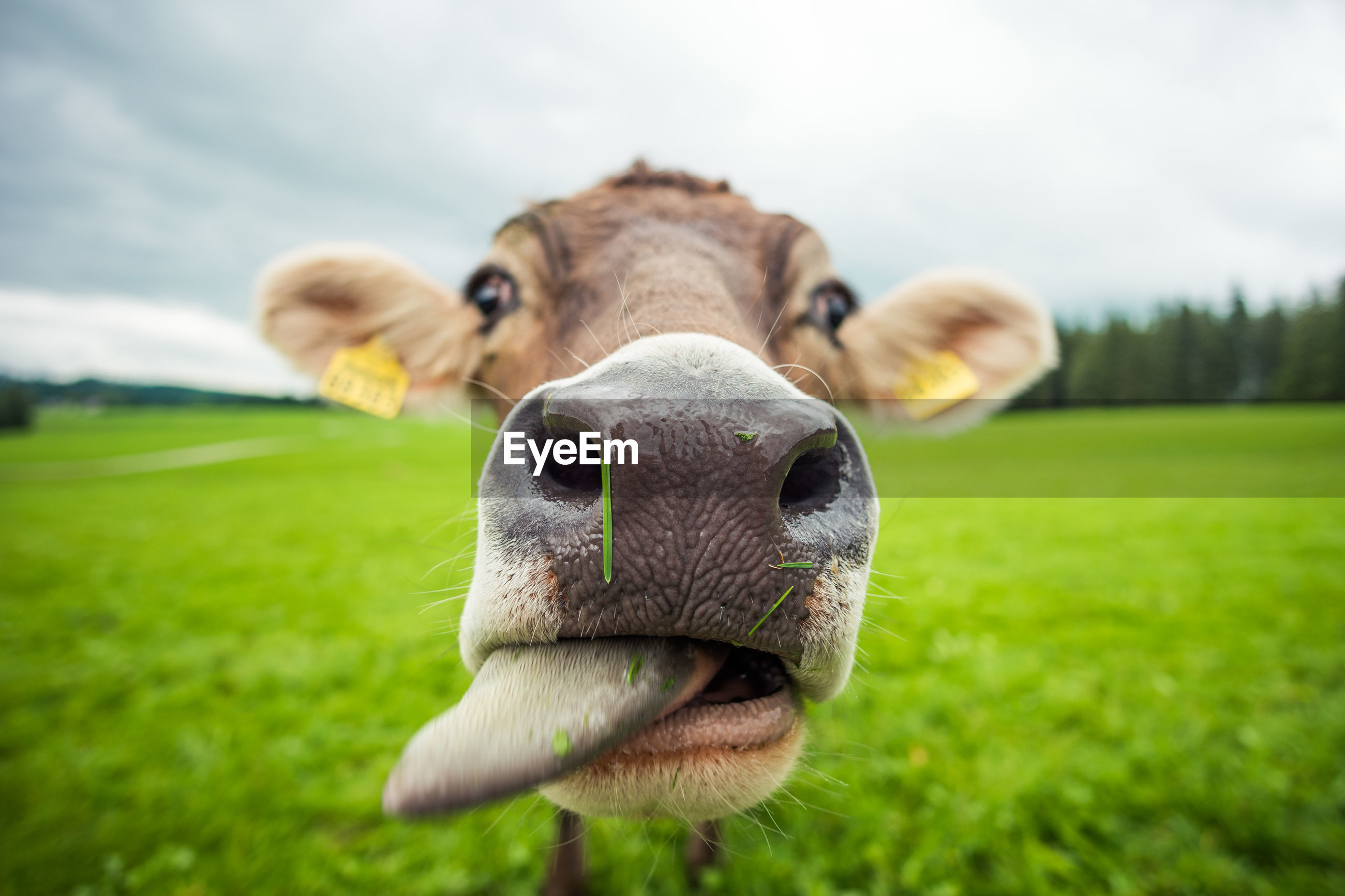 Close-up of cow on field
