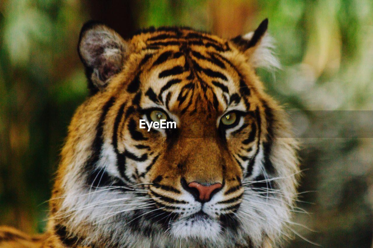 Close-Up Portrait Of Tiger
