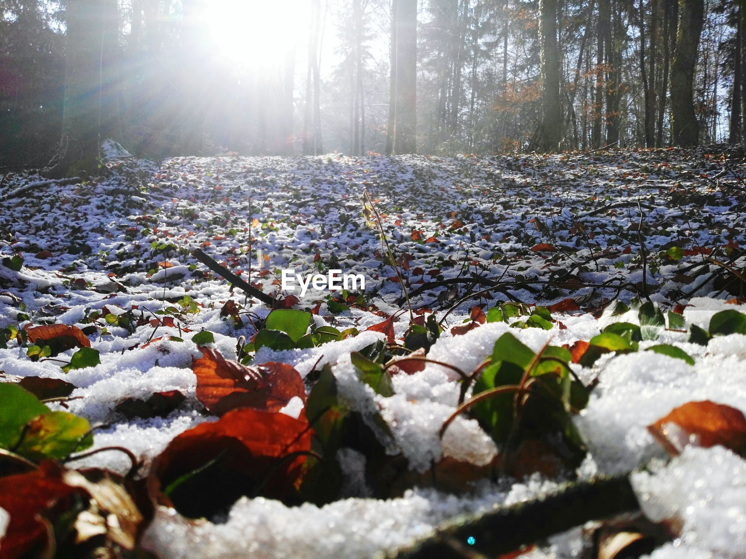 nature, leaf, tranquility, day, sunlight, beauty in nature, winter, tree, forest, outdoors, no people, cold temperature, growth, autumn, tree trunk, scenics