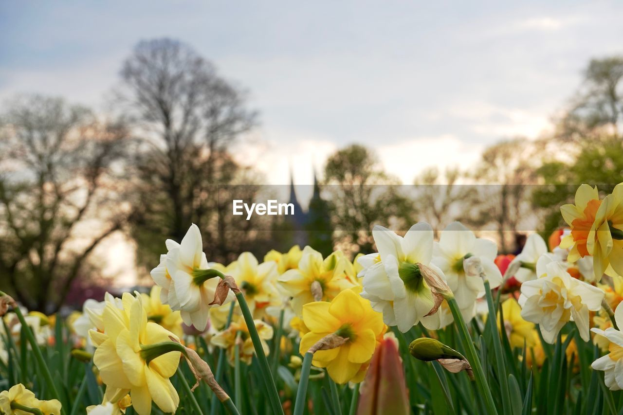 flower, plant, flowering plant, beauty in nature, freshness, vulnerability, fragility, yellow, growth, sky, close-up, petal, nature, field, no people, flower head, tree, day, inflorescence, land, outdoors, springtime, flowerbed