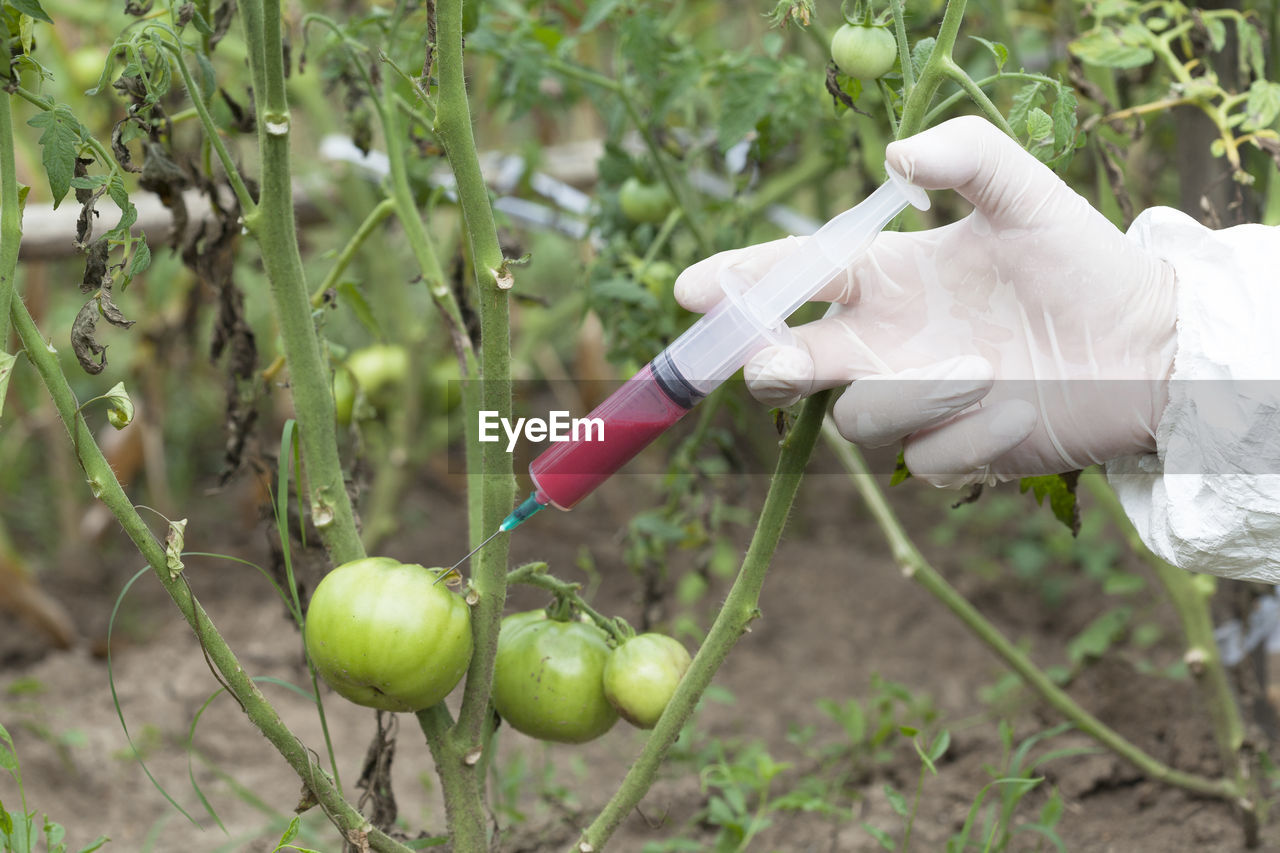 Cropped image of hand injecting chemical in green tomato at farm
