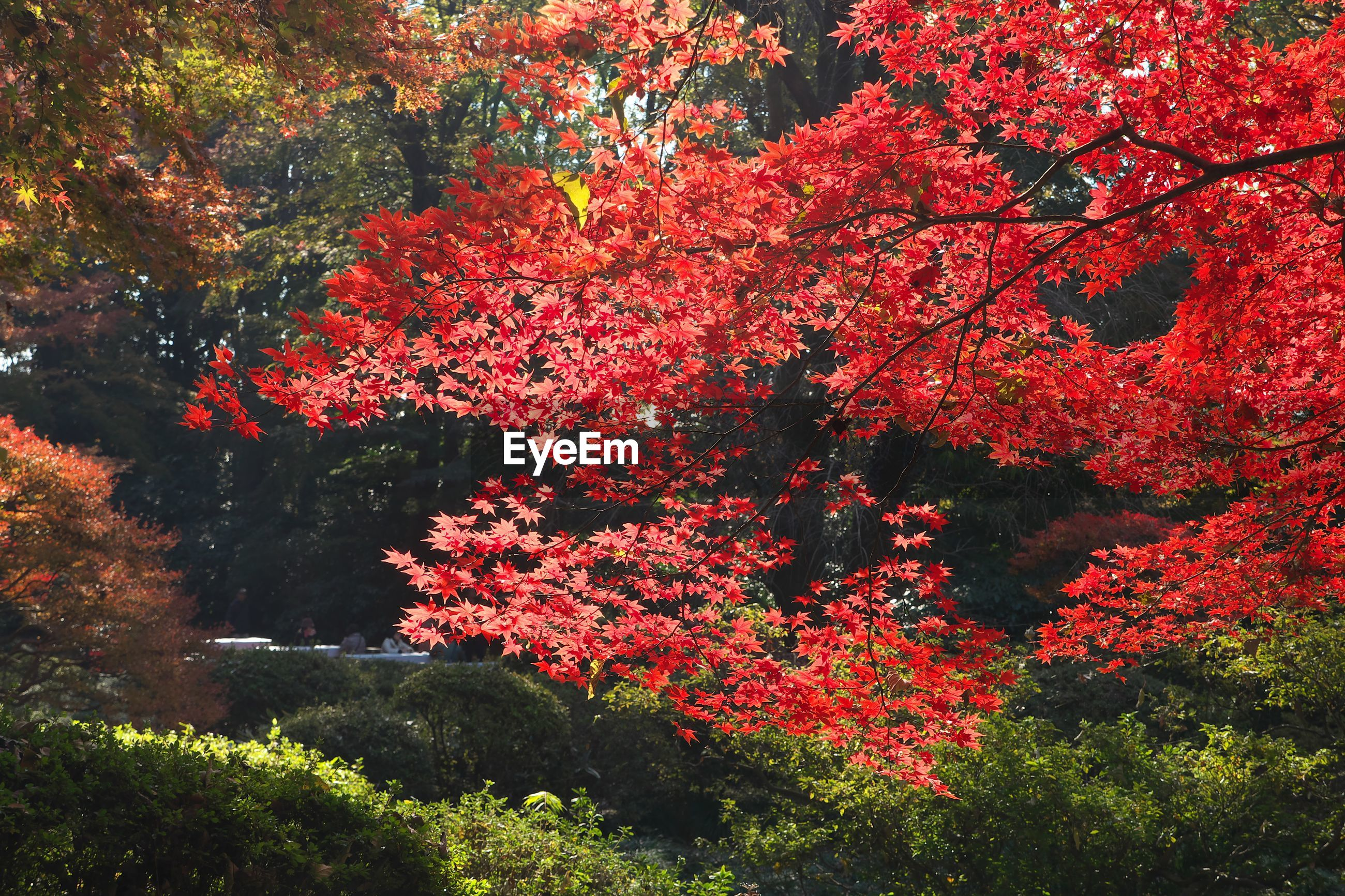 Red autumn tree in park