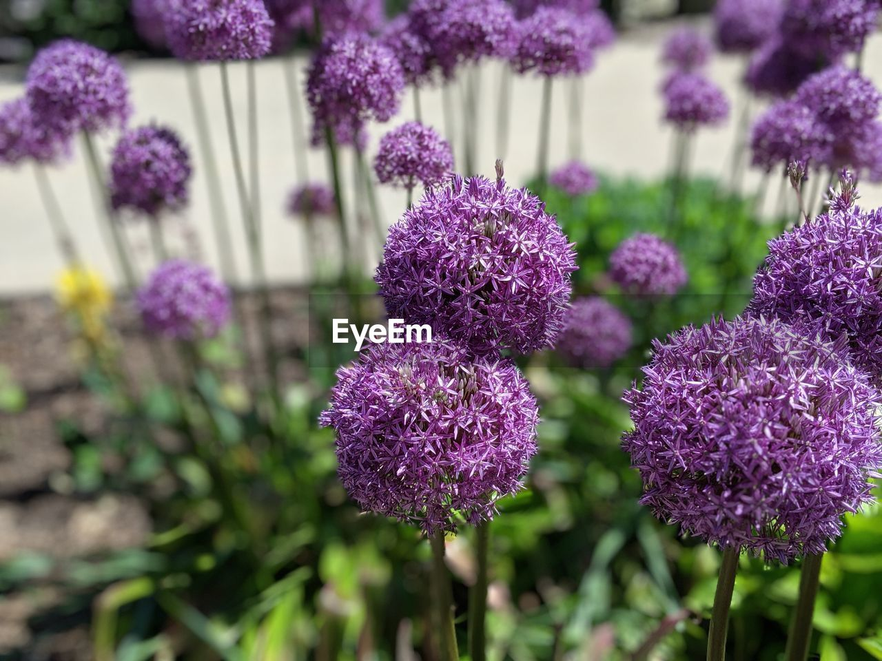 flowering plant, flower, purple, beauty in nature, plant, vulnerability, growth, fragility, freshness, close-up, focus on foreground, nature, lavender, day, inflorescence, no people, flower head, field, botany, plant stem, springtime, lilac, flowerbed
