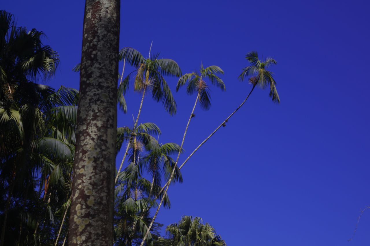 tree, blue, palm tree, low angle view, tree trunk, nature, growth, beauty in nature, tranquil scene, outdoors, scenics, no people, clear sky, tranquility, day, sky