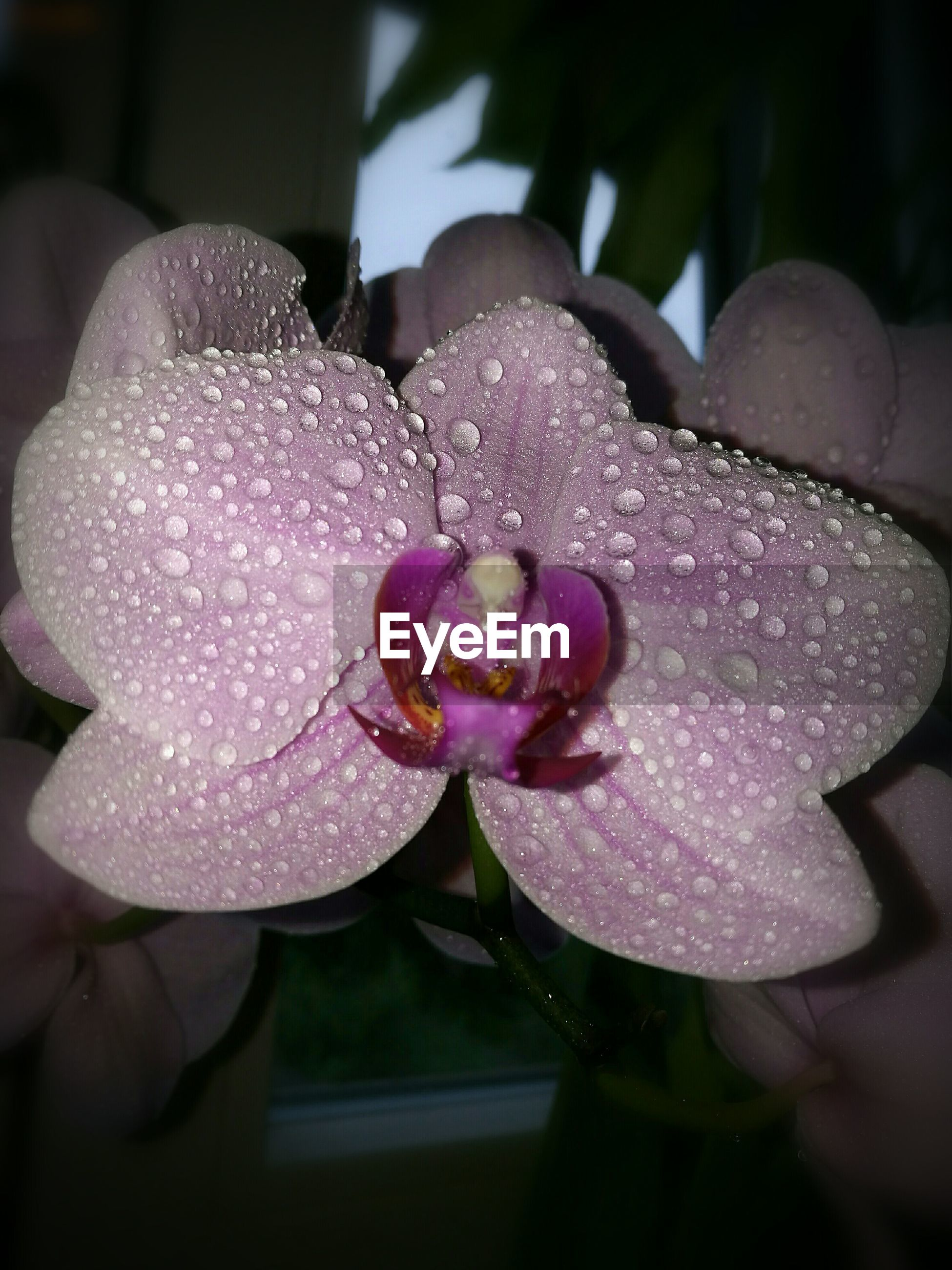 flower, fragility, freshness, petal, water, drop, growth, wet, flower head, close-up, in bloom, beauty in nature, pink color, season, springtime, nature, blossom, dew, single flower, botany, rain, selective focus, orchid, extreme close-up, macro, plant, droplet, soft focus, softness, vibrant color, water drop, rose petals, focus on foreground, purity