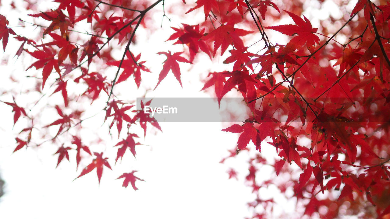 branch, autumn, tree, plant, leaf, plant part, beauty in nature, maple leaf, change, low angle view, red, nature, growth, no people, maple tree, day, close-up, outdoors, selective focus, freshness, leaves, natural condition