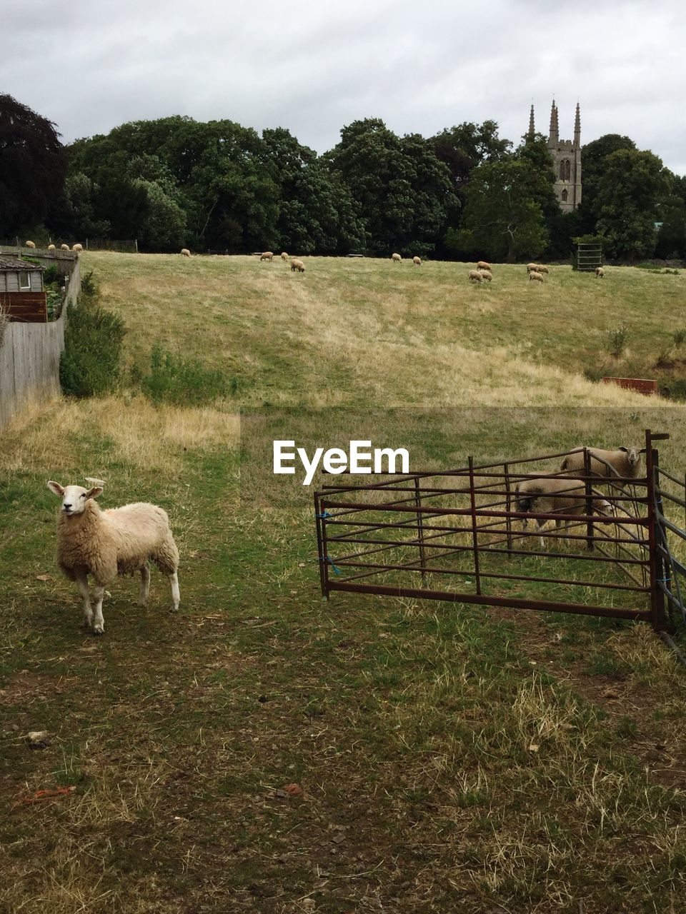 plant, mammal, animal, domestic animals, animal themes, livestock, grass, field, domestic, pets, land, vertebrate, nature, sheep, boundary, barrier, landscape, fence, group of animals, day, no people, outdoors, herbivorous