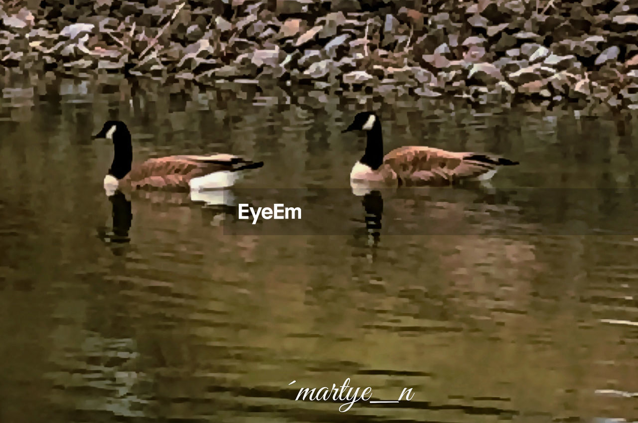 bird, animal themes, animal, water, animal wildlife, animals in the wild, vertebrate, lake, group of animals, swimming, no people, waterfront, reflection, day, nature, goose, canada goose, beauty in nature, water bird, floating on water, animal family, gosling, flock of birds