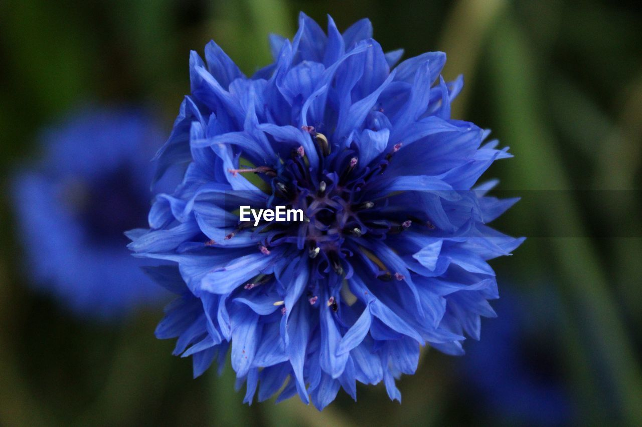 CLOSE-UP OF BLUE FLOWER
