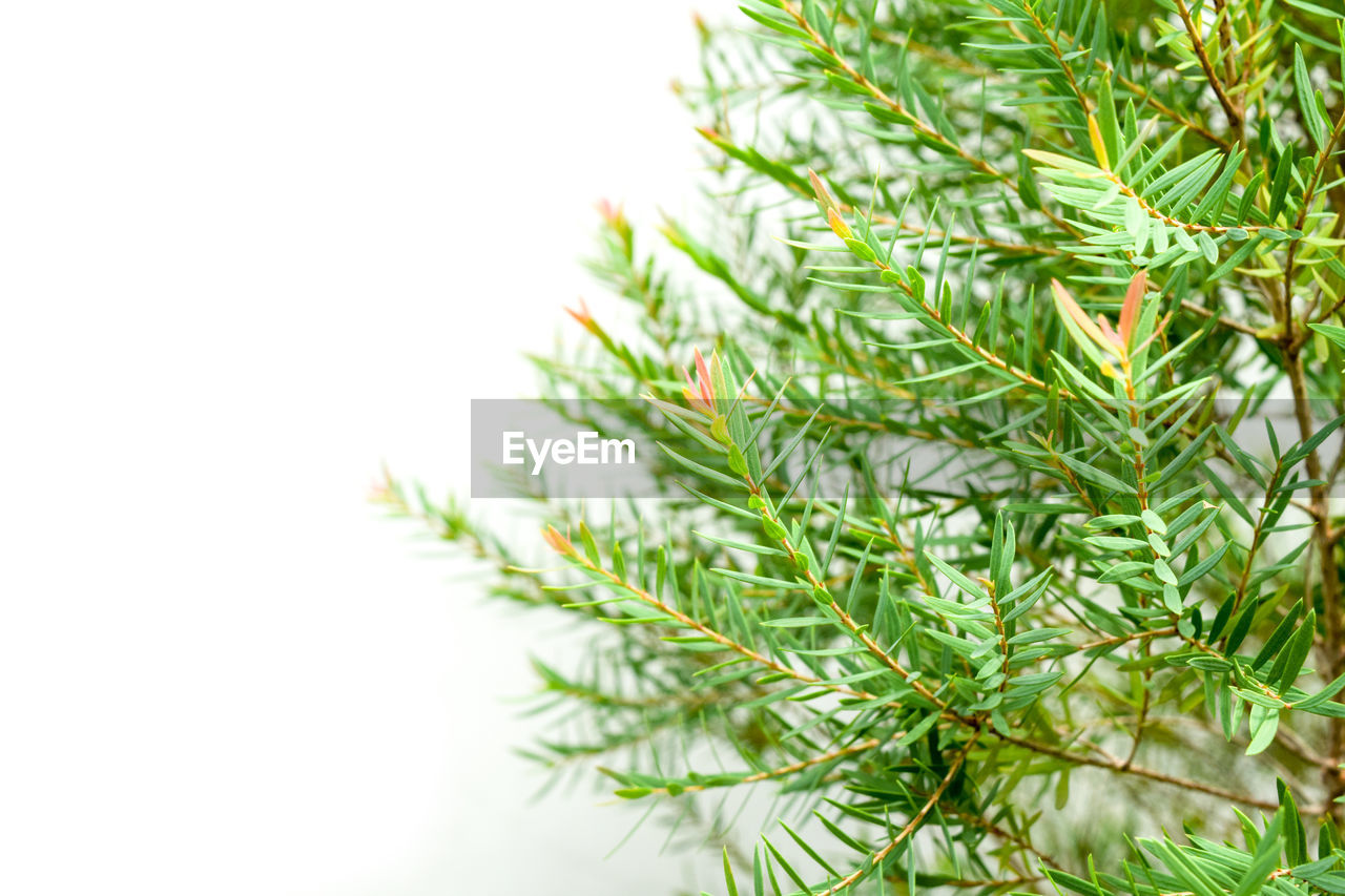 plant, green color, close-up, growth, nature, no people, focus on foreground, beauty in nature, day, white background, copy space, leaf, pine tree, studio shot, plant part, tree, selective focus, needle - plant part, outdoors, sky, coniferous tree, fir tree