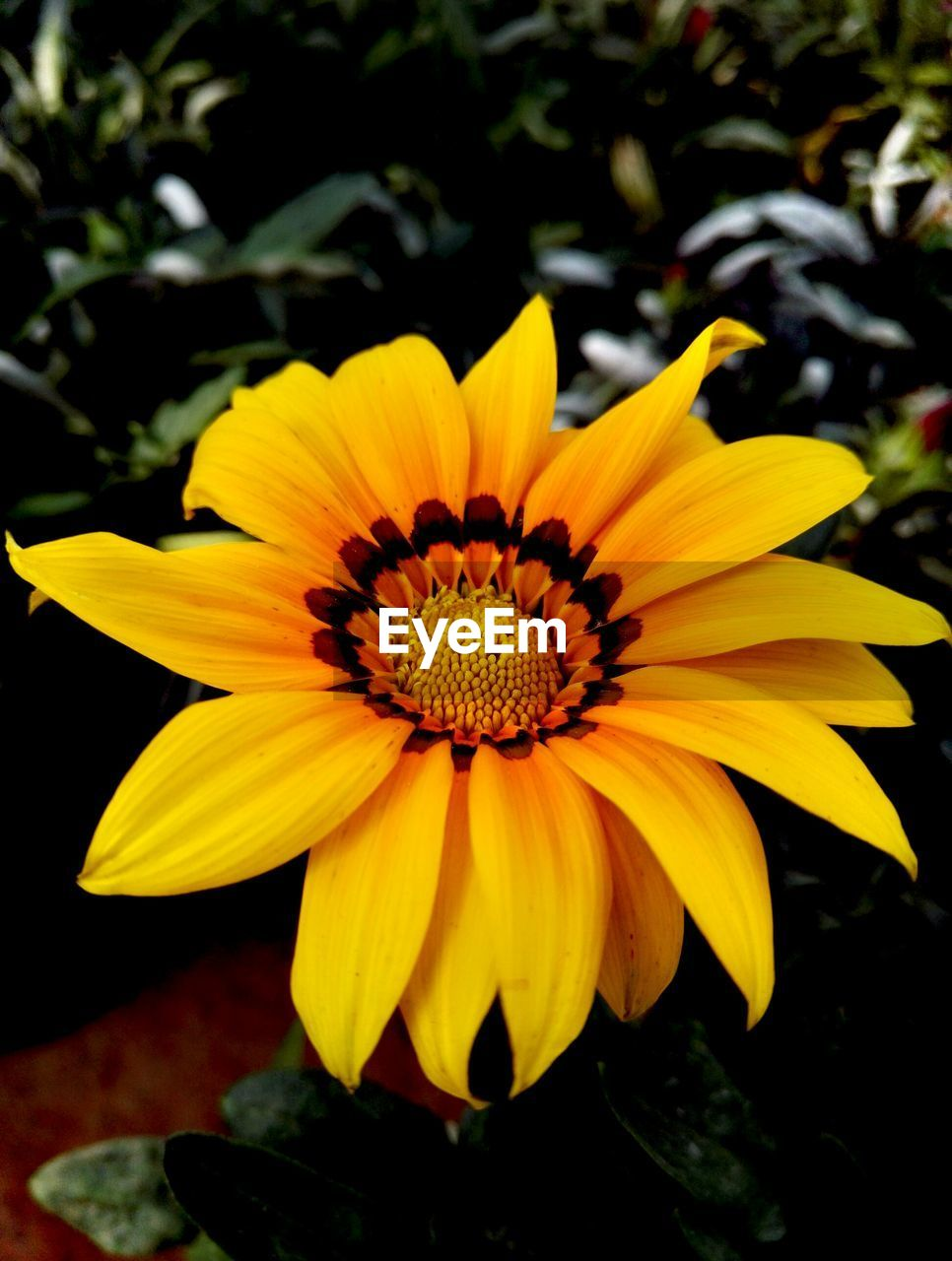 flower, yellow, petal, fragility, beauty in nature, nature, flower head, growth, freshness, plant, no people, gazania, outdoors, close-up, day, blooming
