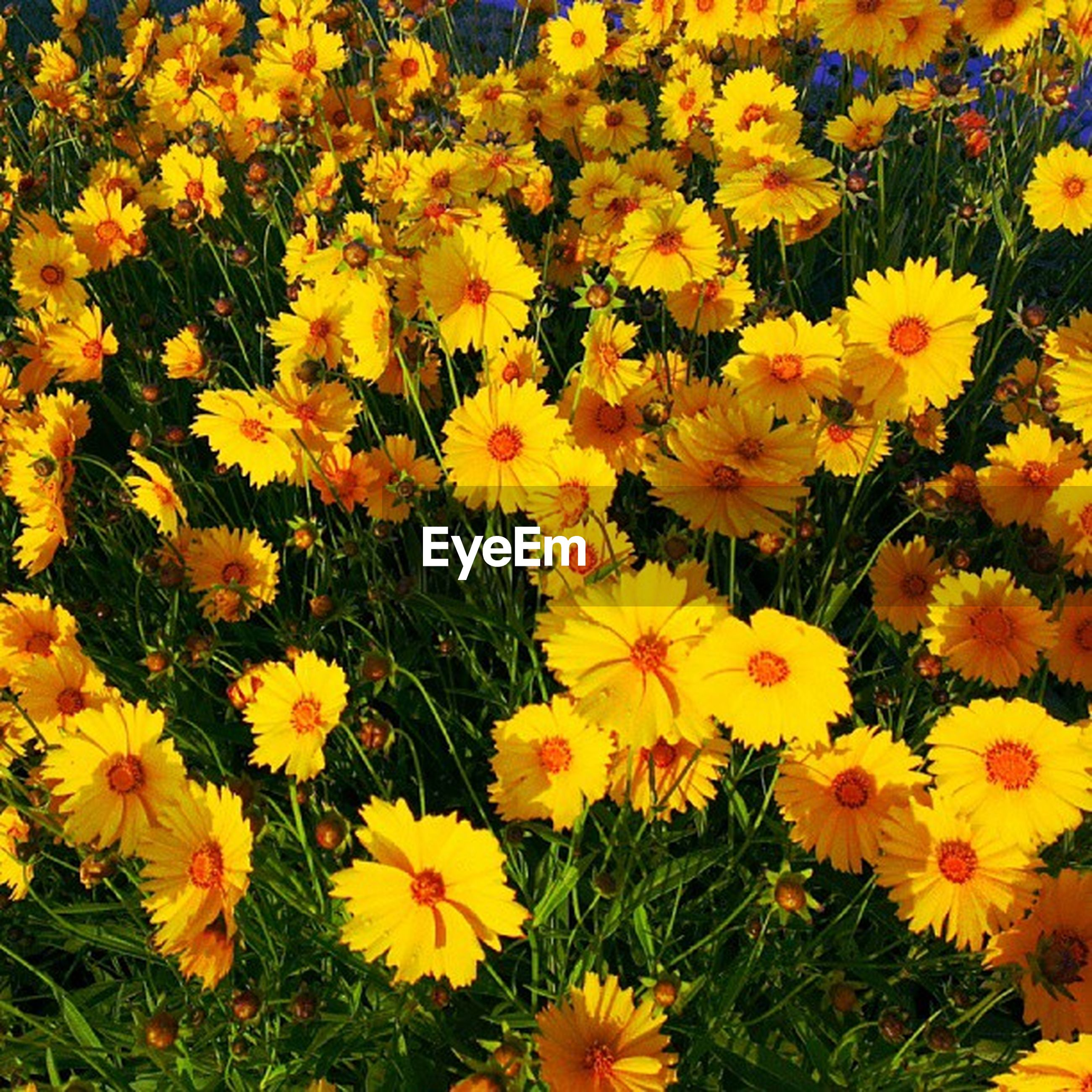flower, freshness, yellow, petal, fragility, growth, beauty in nature, flower head, blooming, nature, full frame, high angle view, plant, abundance, field, backgrounds, in bloom, blossom, park - man made space, outdoors