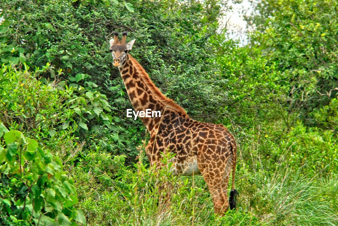 animal wildlife, animal, animal themes, animals in the wild, mammal, one animal, plant, giraffe, vertebrate, safari, no people, nature, land, green color, tree, animal markings, day, standing, forest, animal neck, herbivorous
