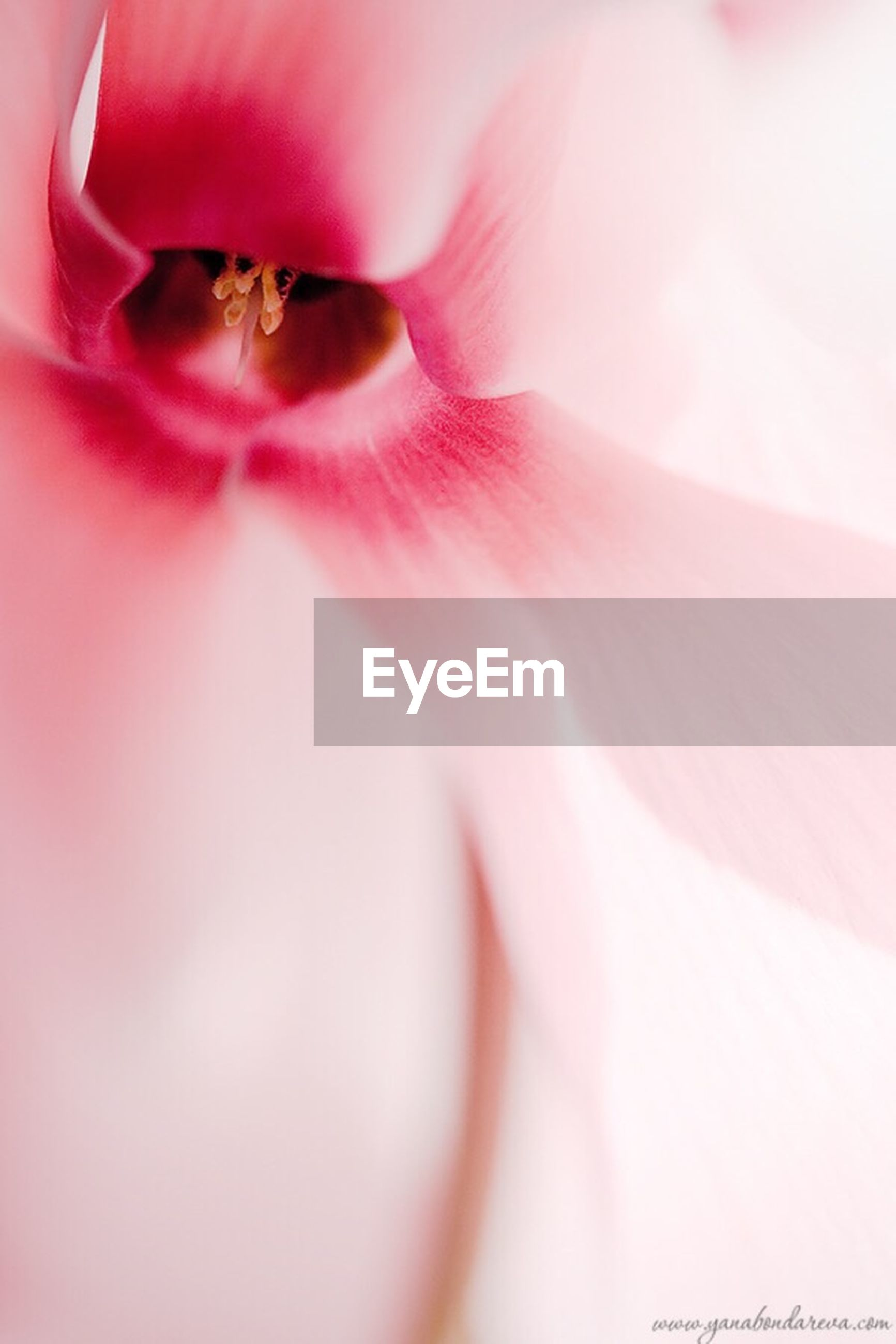 flower, pink color, petal, fragility, close-up, flower head, selective focus, extreme close-up, freshness, beauty in nature, single flower, nature, macro, pink, growth, stamen, full frame, backgrounds, pollen, detail