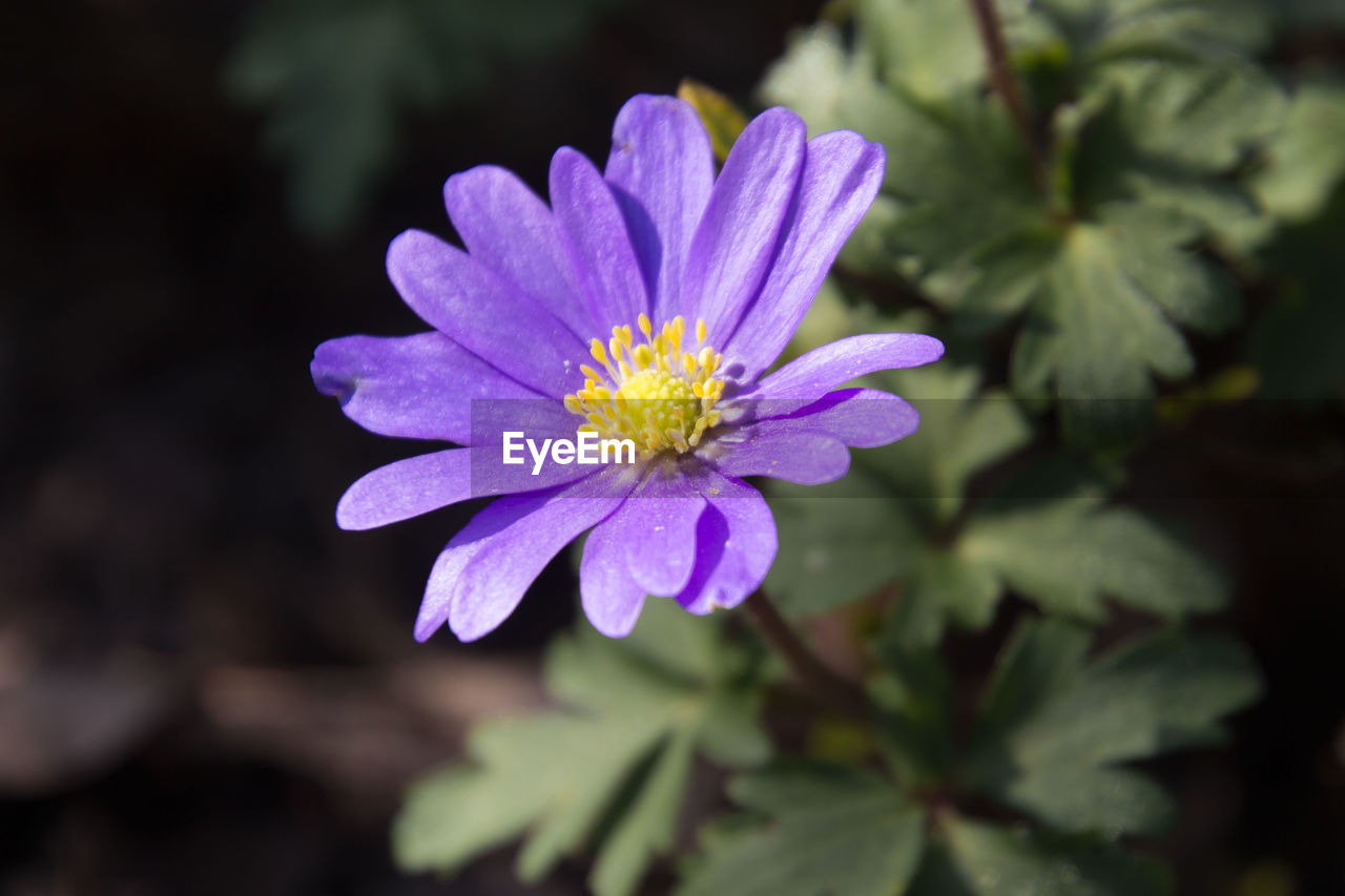 flowering plant, flower, freshness, vulnerability, petal, fragility, plant, beauty in nature, inflorescence, flower head, growth, close-up, nature, pollen, purple, no people, focus on foreground, selective focus, pink color, outdoors